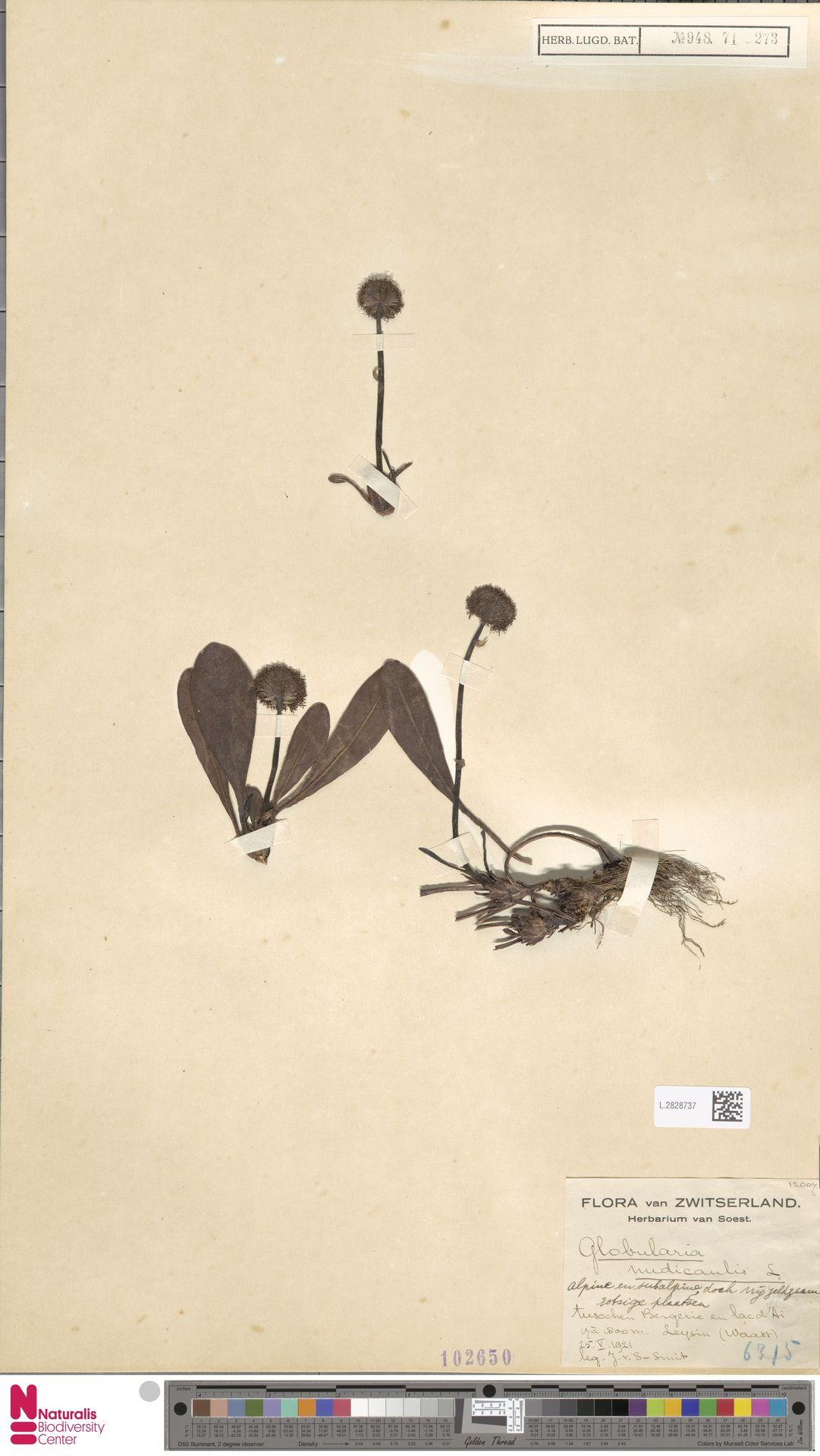 L.2828737 | Globularia nudicaulis L.
