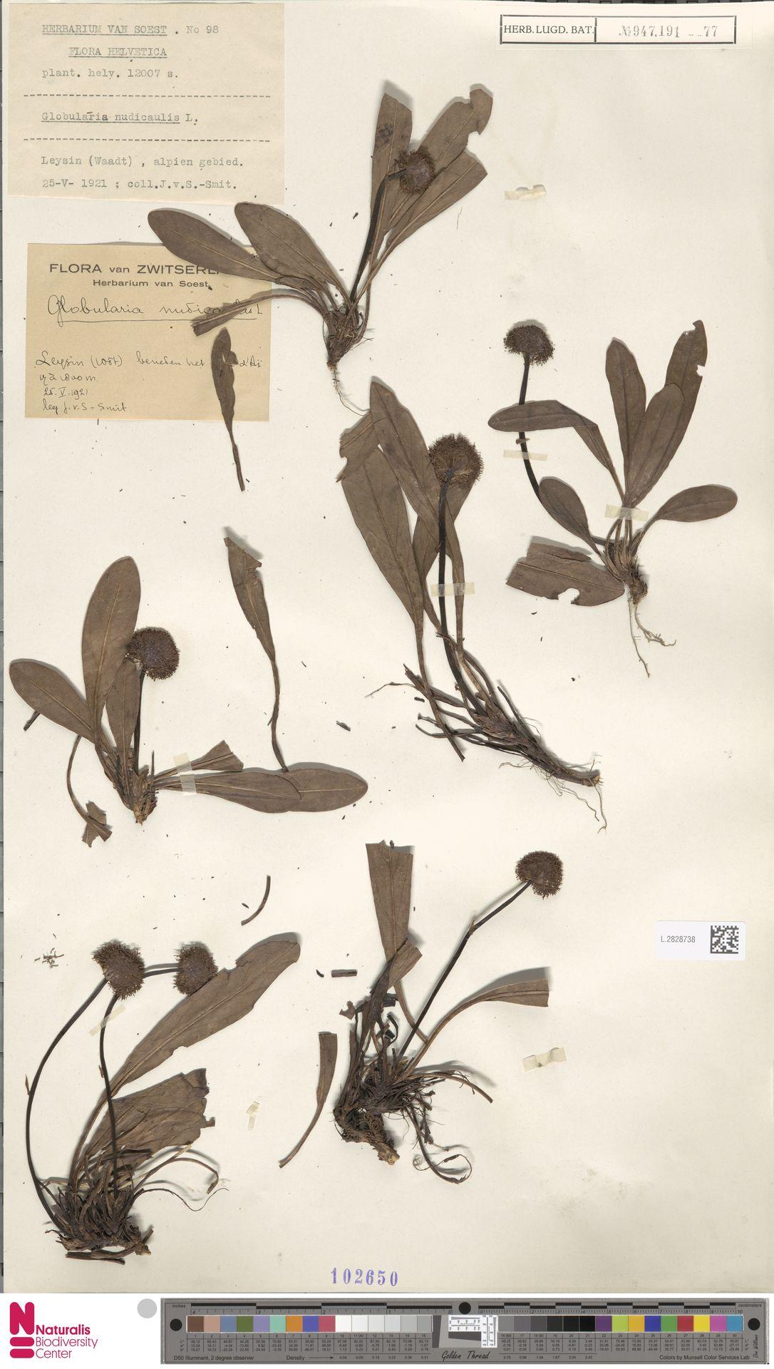 L.2828738 | Globularia nudicaulis L.