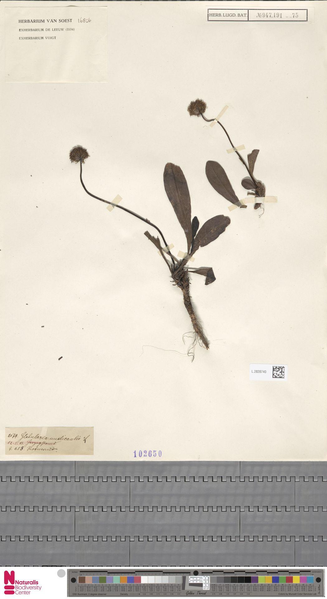 L.2828740 | Globularia nudicaulis L.