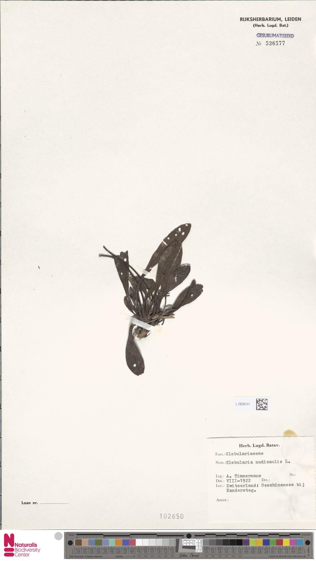 L.2828741 | Globularia nudicaulis L.