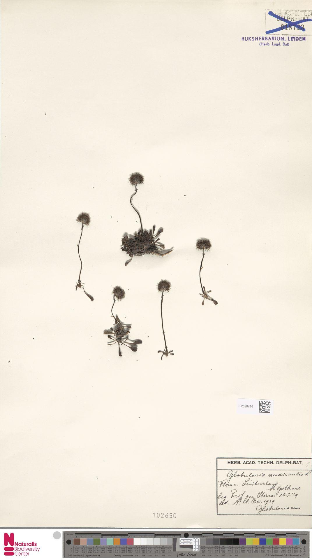 L.2828744 | Globularia nudicaulis L.