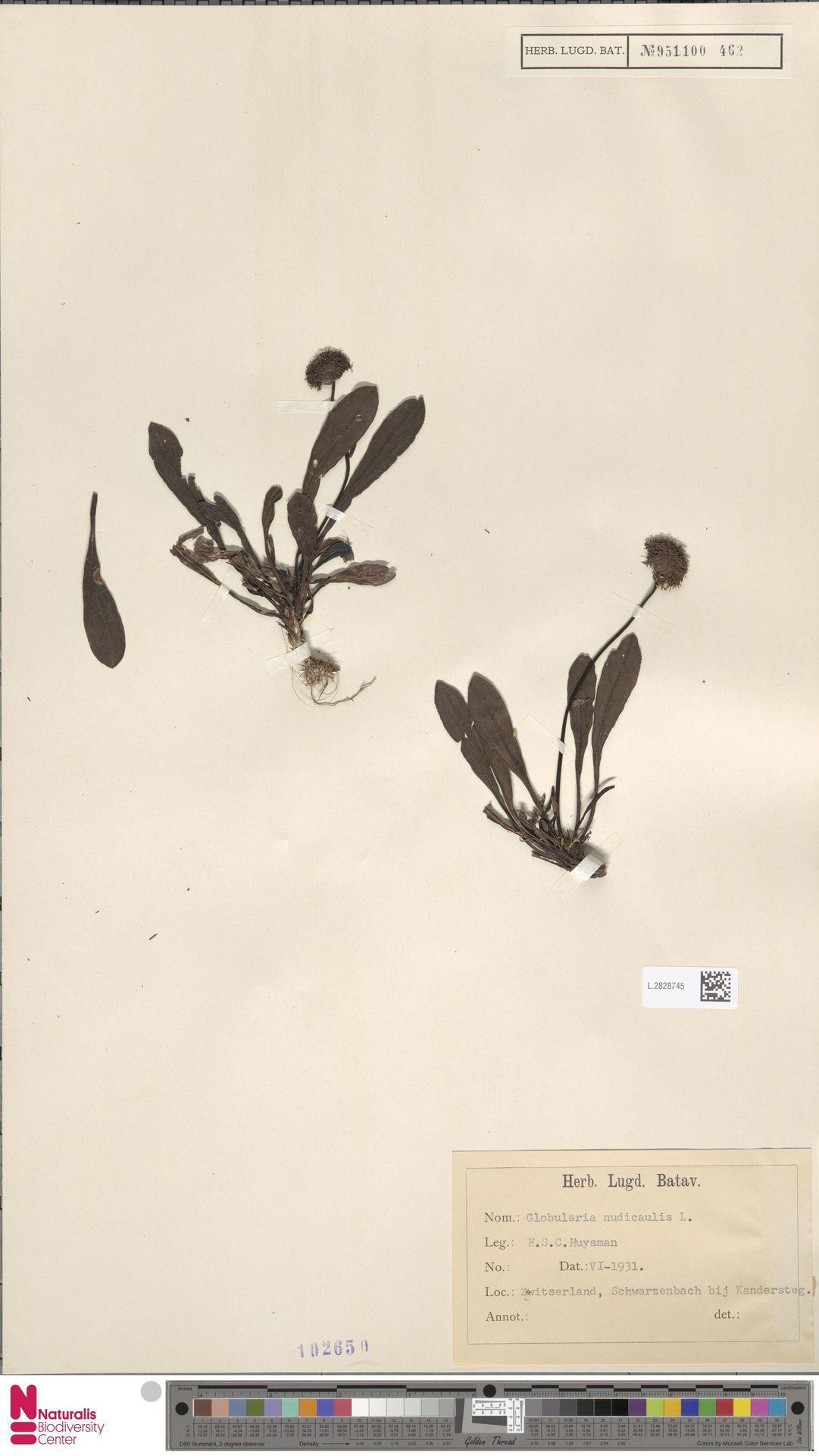 L.2828745 | Globularia nudicaulis L.