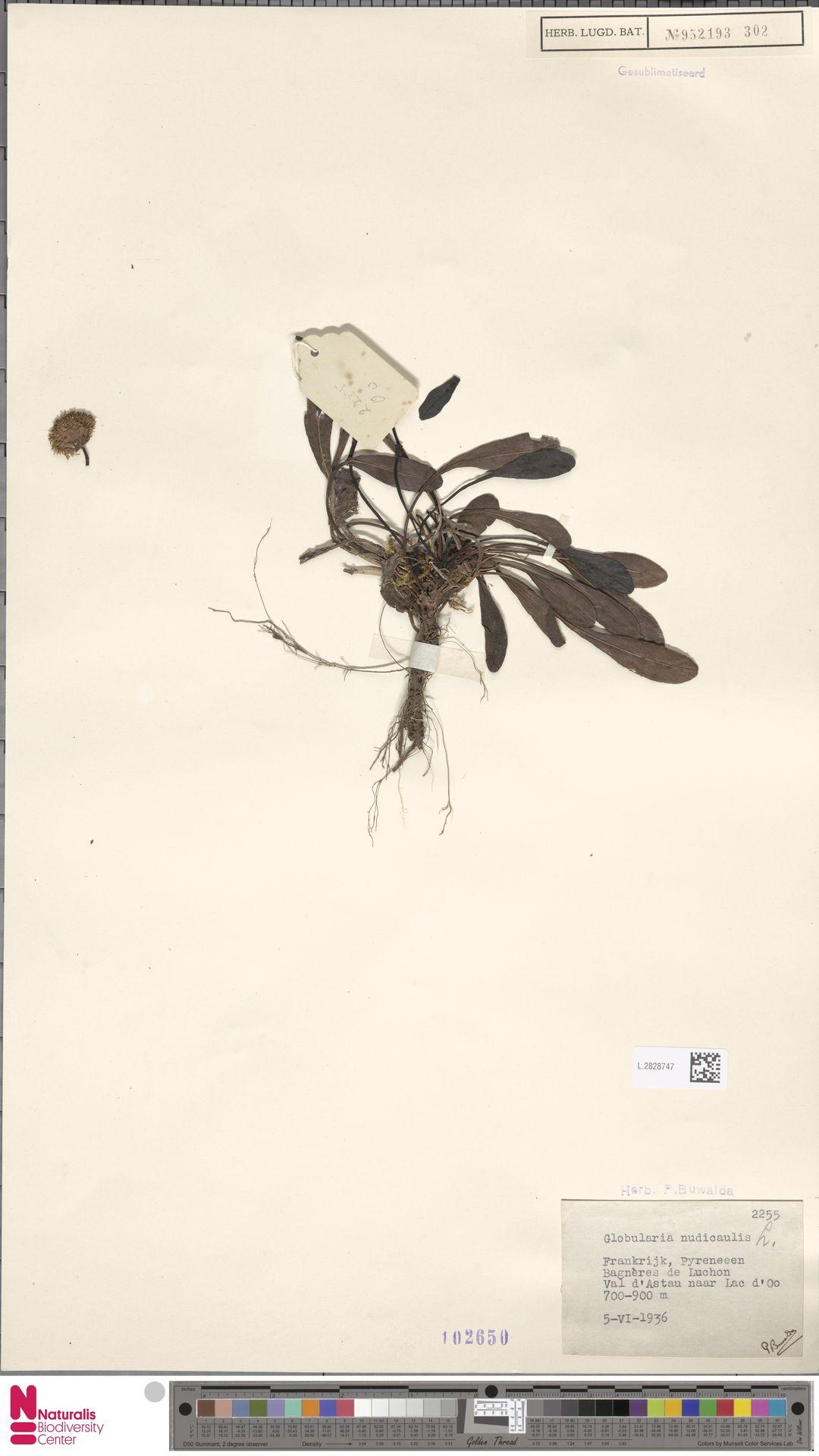 L.2828747 | Globularia nudicaulis L.
