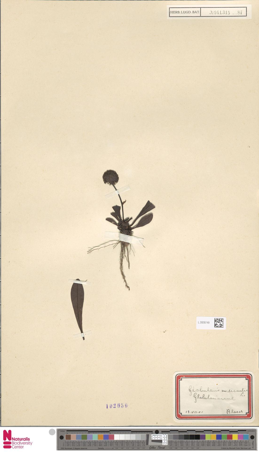 L.2828749 | Globularia nudicaulis L.