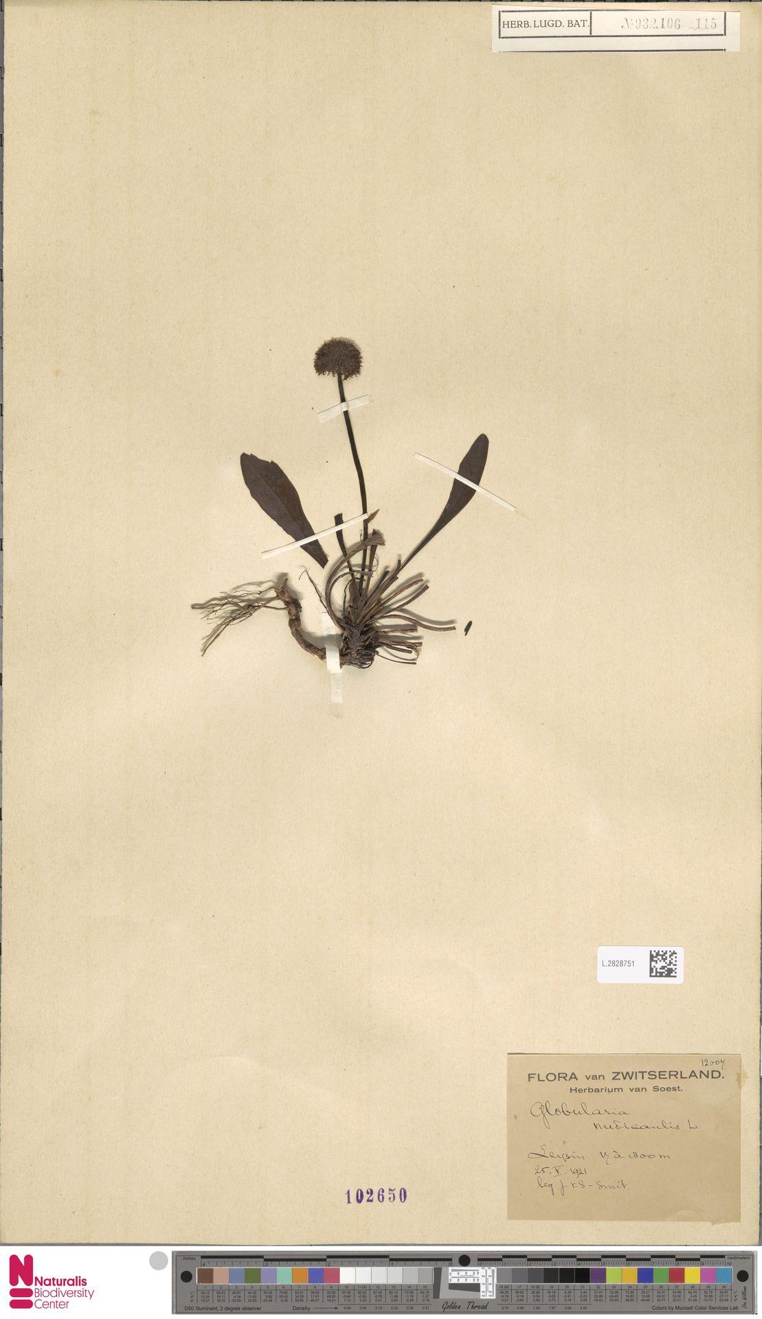 L.2828751 | Globularia nudicaulis L.