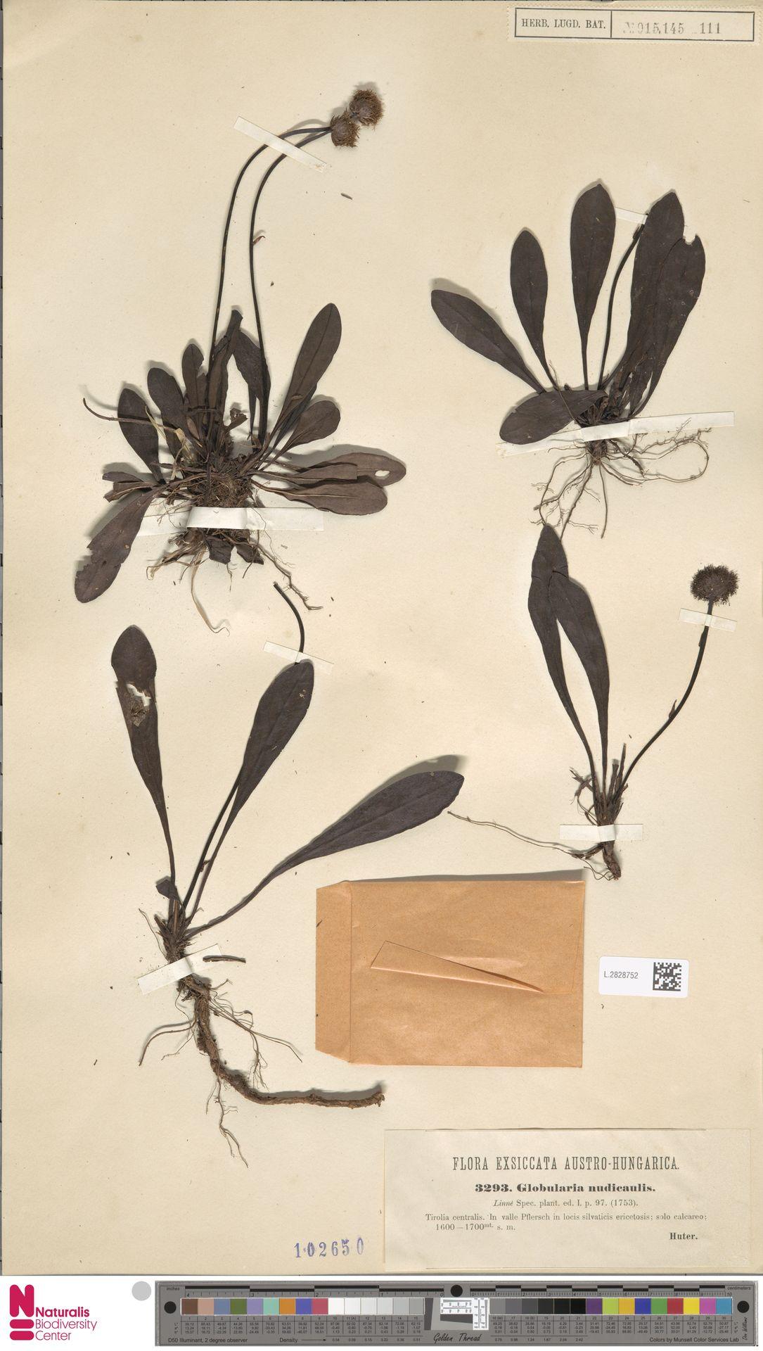 L.2828752 | Globularia nudicaulis L.