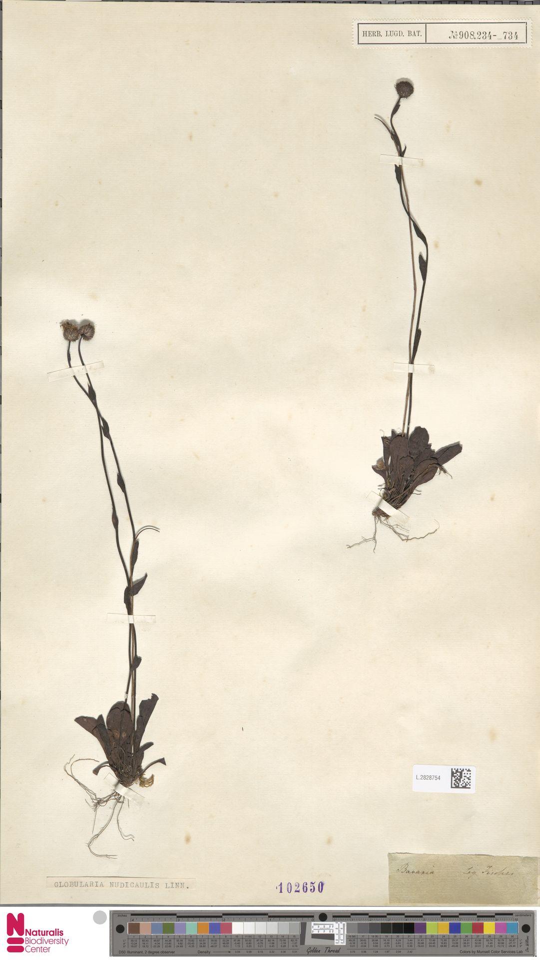 L.2828754 | Globularia nudicaulis L.