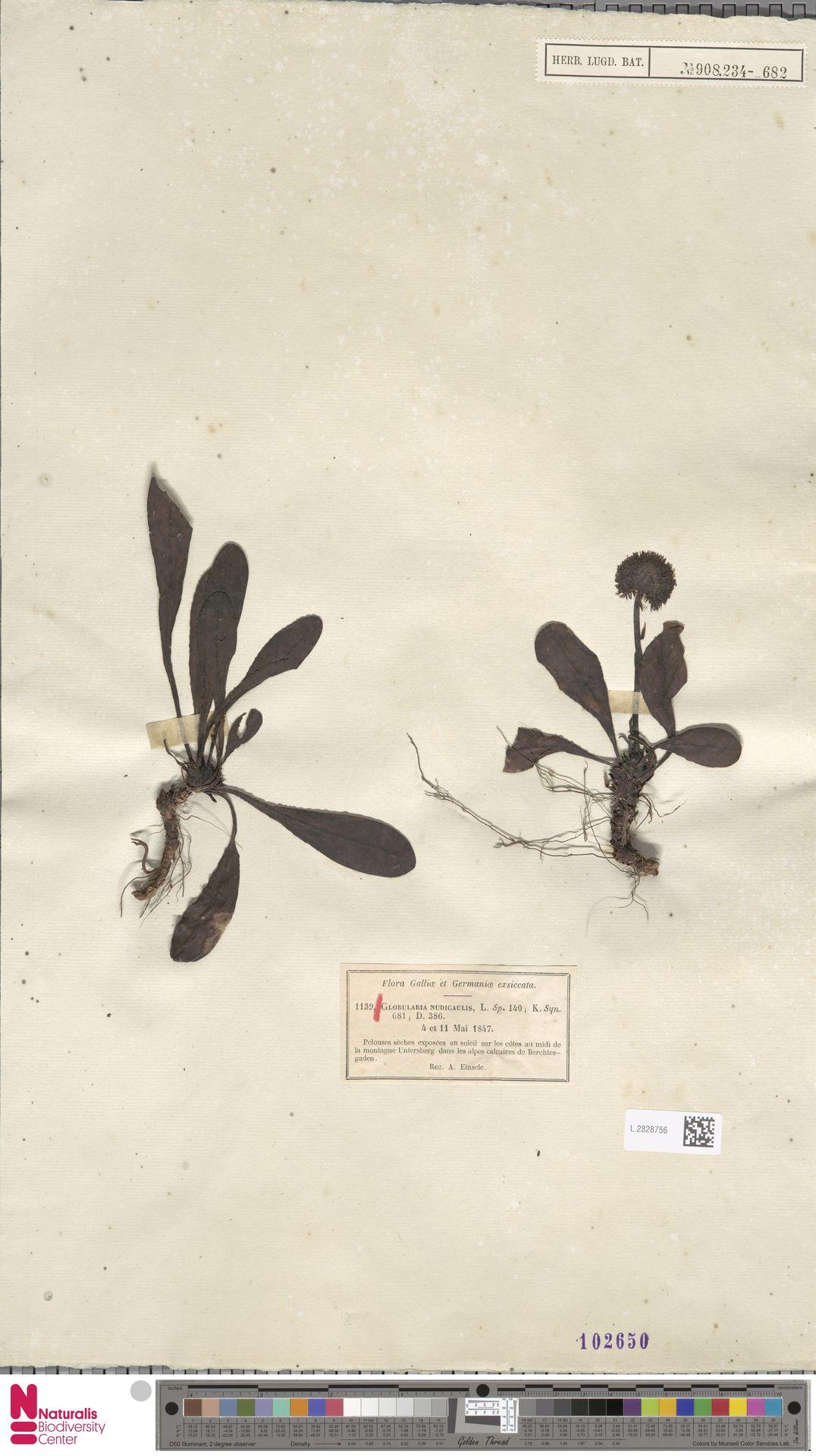 L.2828756 | Globularia nudicaulis L.