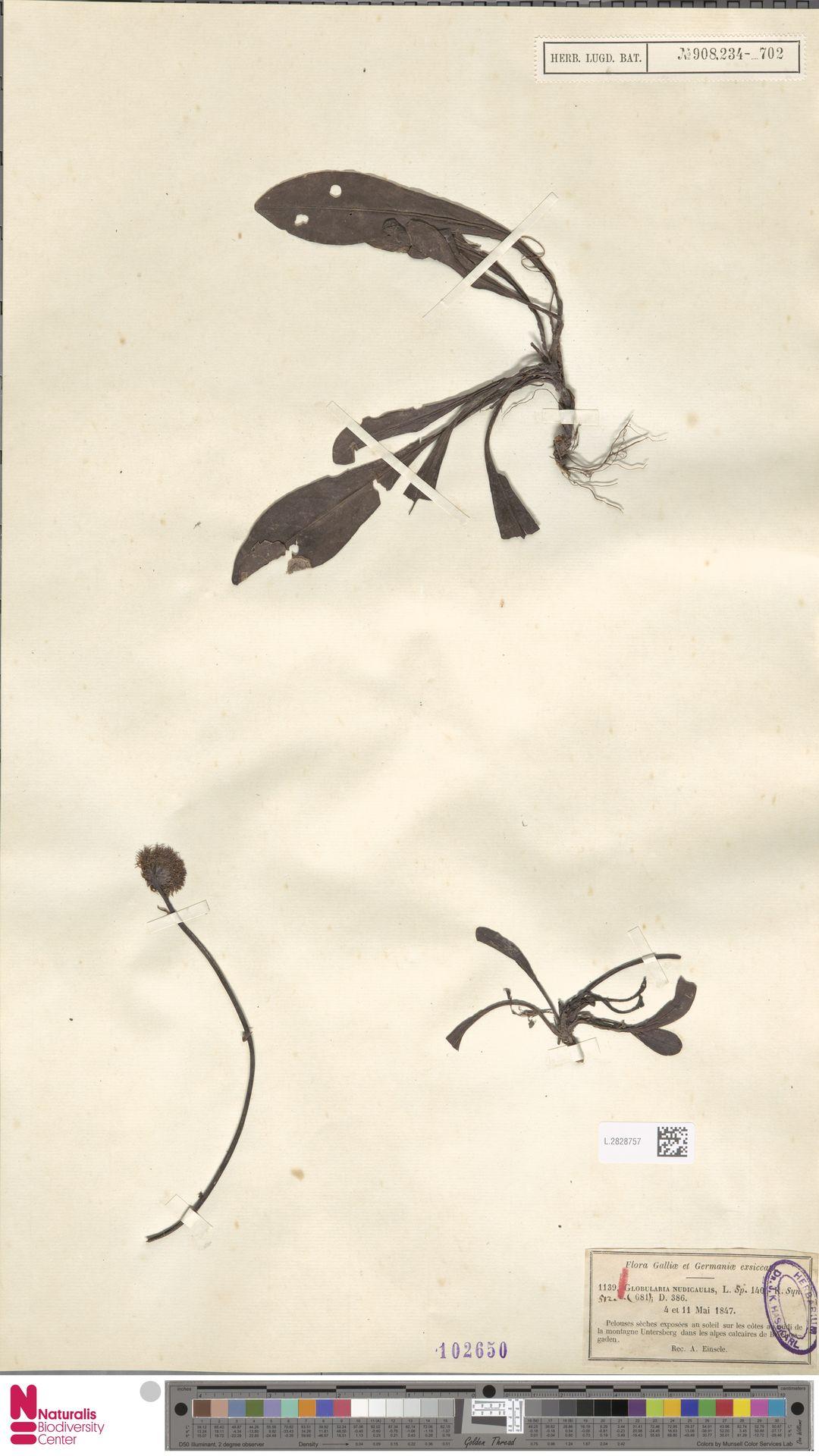 L.2828757 | Globularia nudicaulis L.