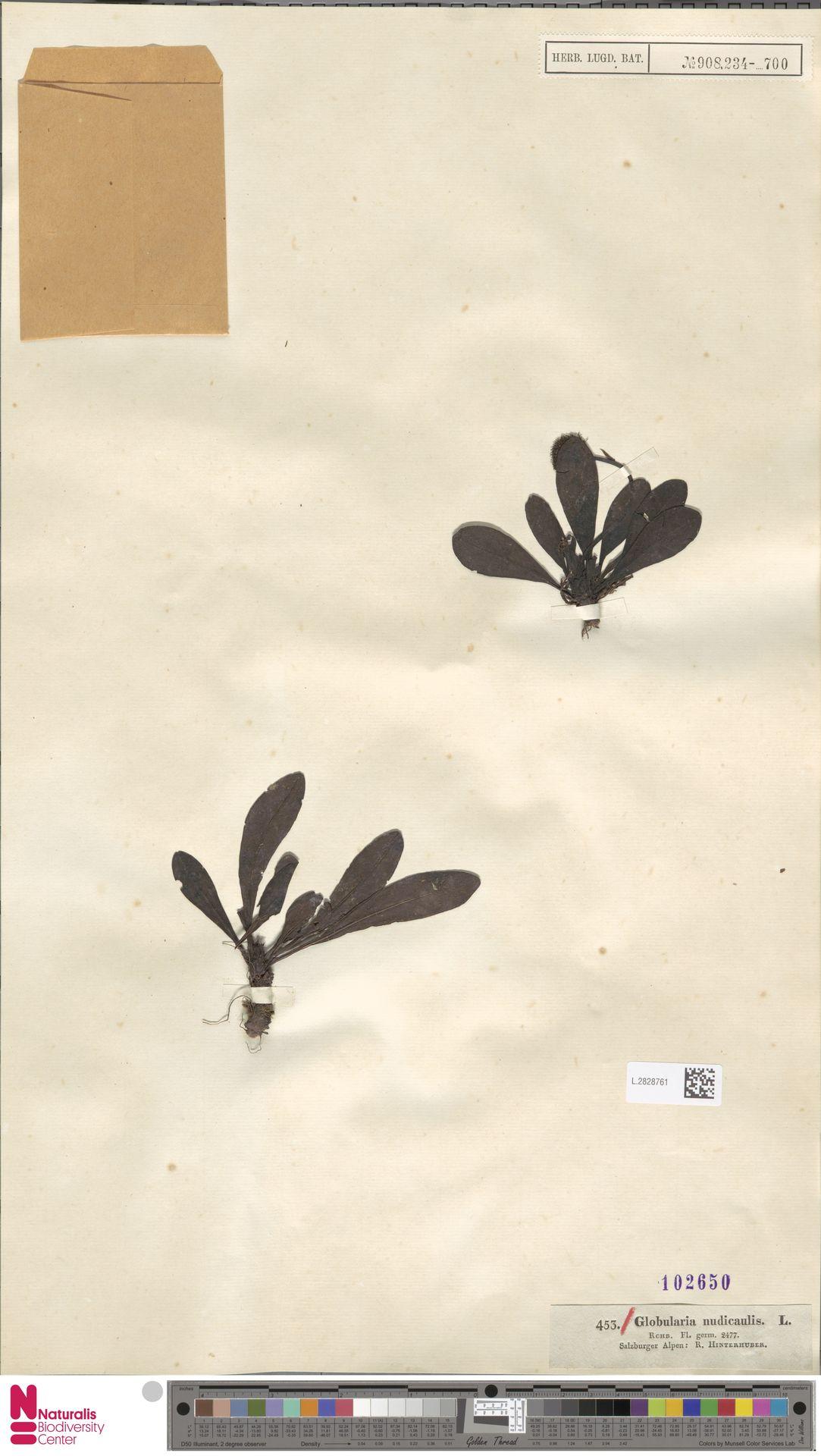 L.2828761 | Globularia nudicaulis L.