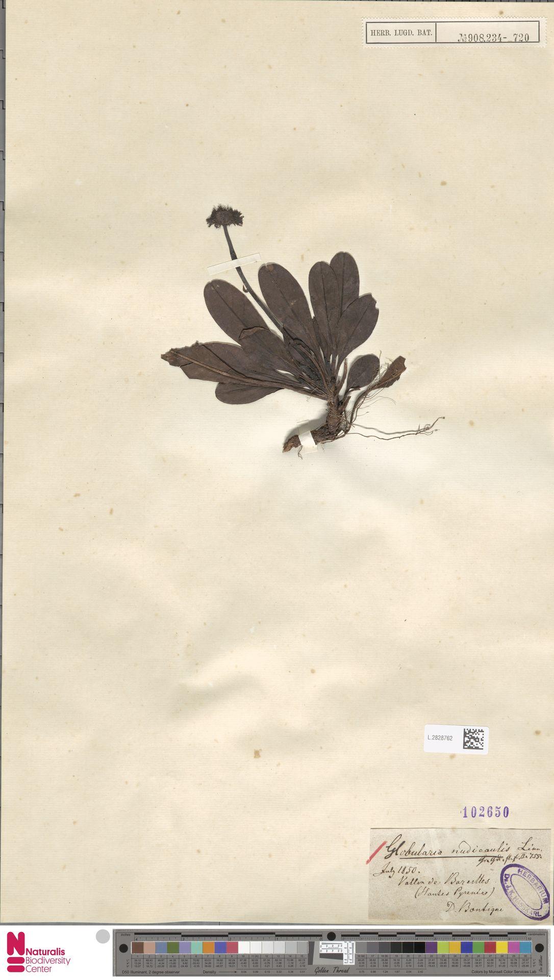 L.2828762   Globularia nudicaulis L.