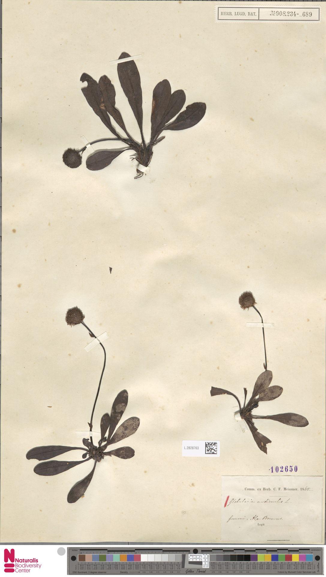 L.2828763 | Globularia nudicaulis L.