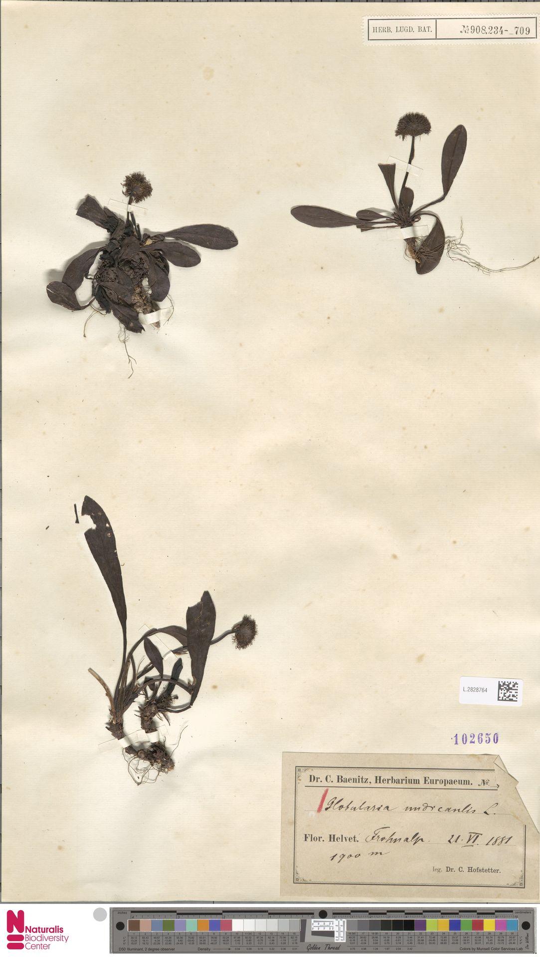 L.2828764 | Globularia nudicaulis L.