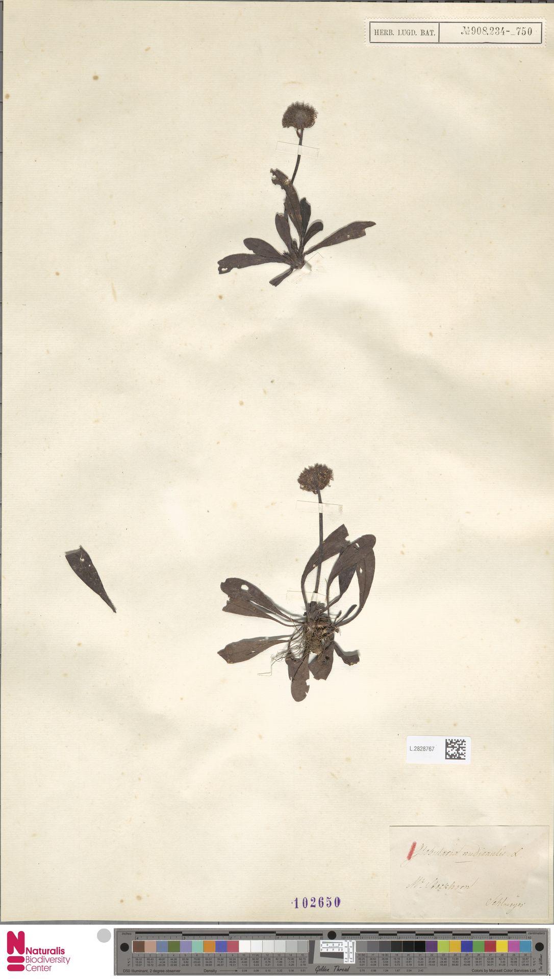 L.2828767 | Globularia nudicaulis L.