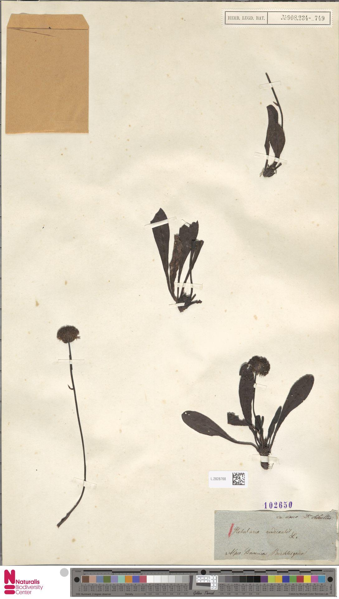 L.2828768 | Globularia nudicaulis L.