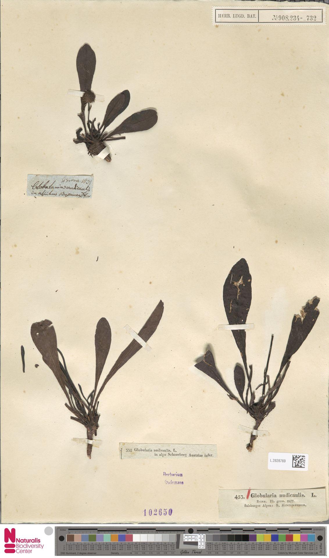 L.2828769 | Globularia nudicaulis L.