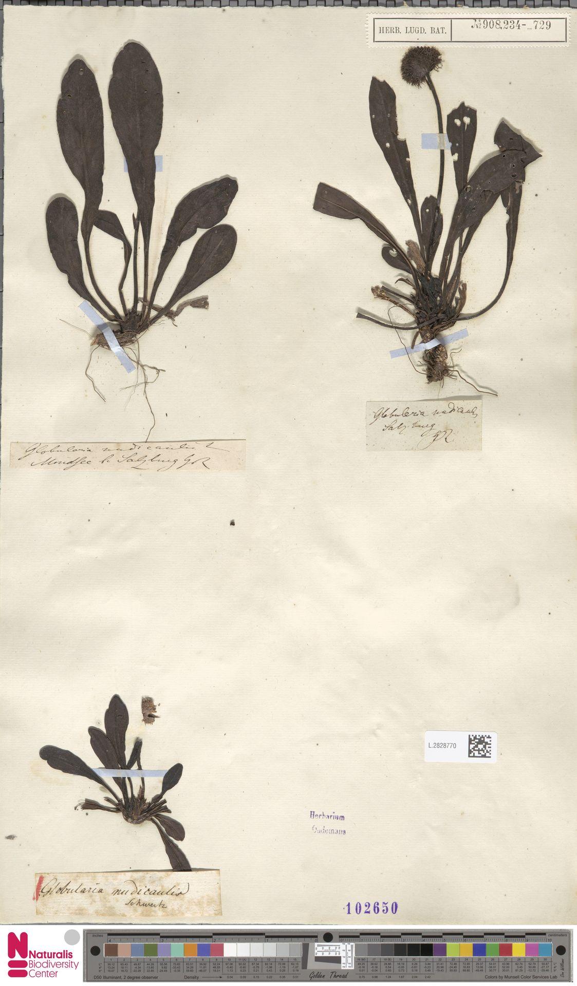 L.2828770 | Globularia nudicaulis L.