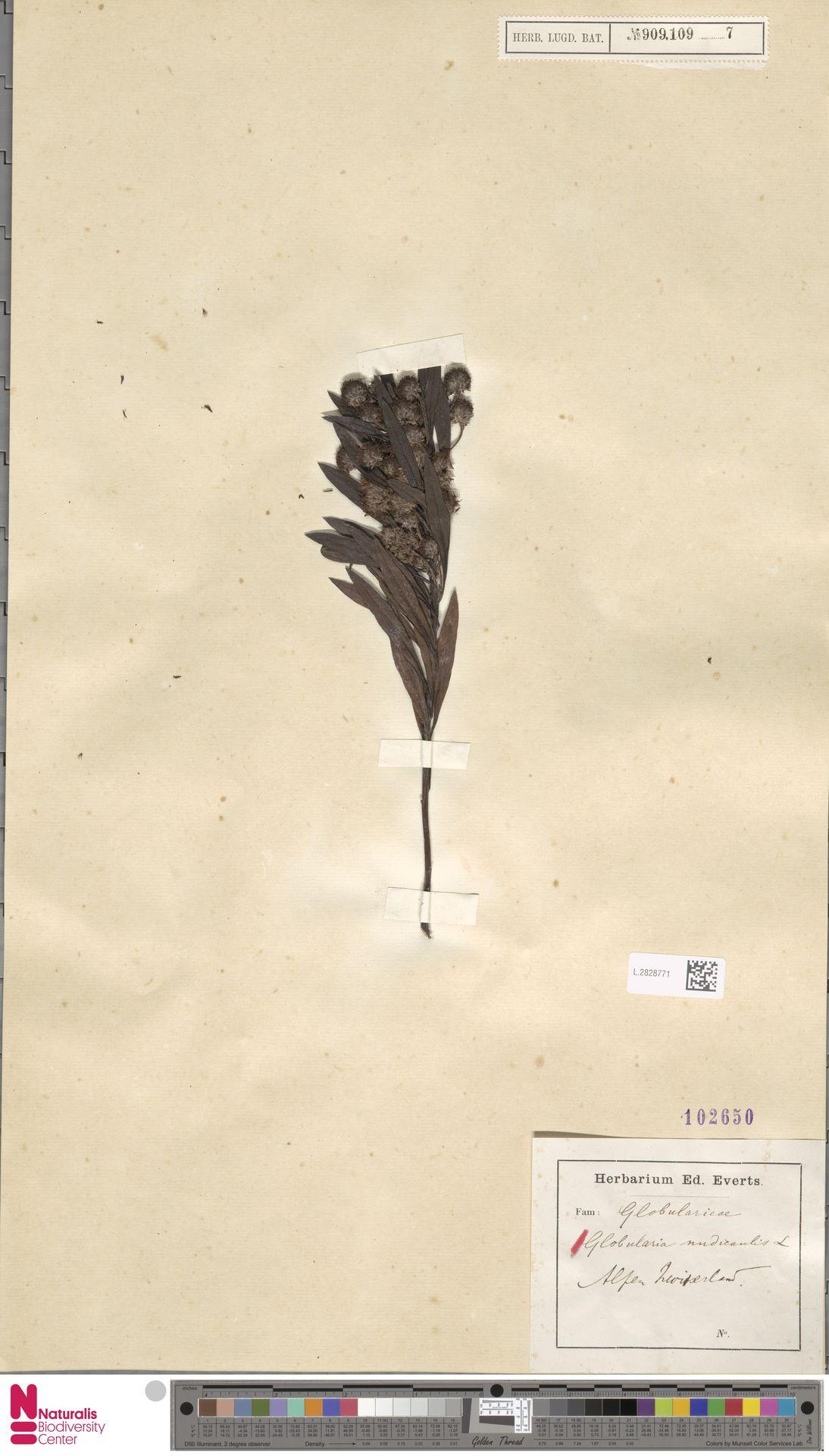 L.2828771 | Globularia nudicaulis L.