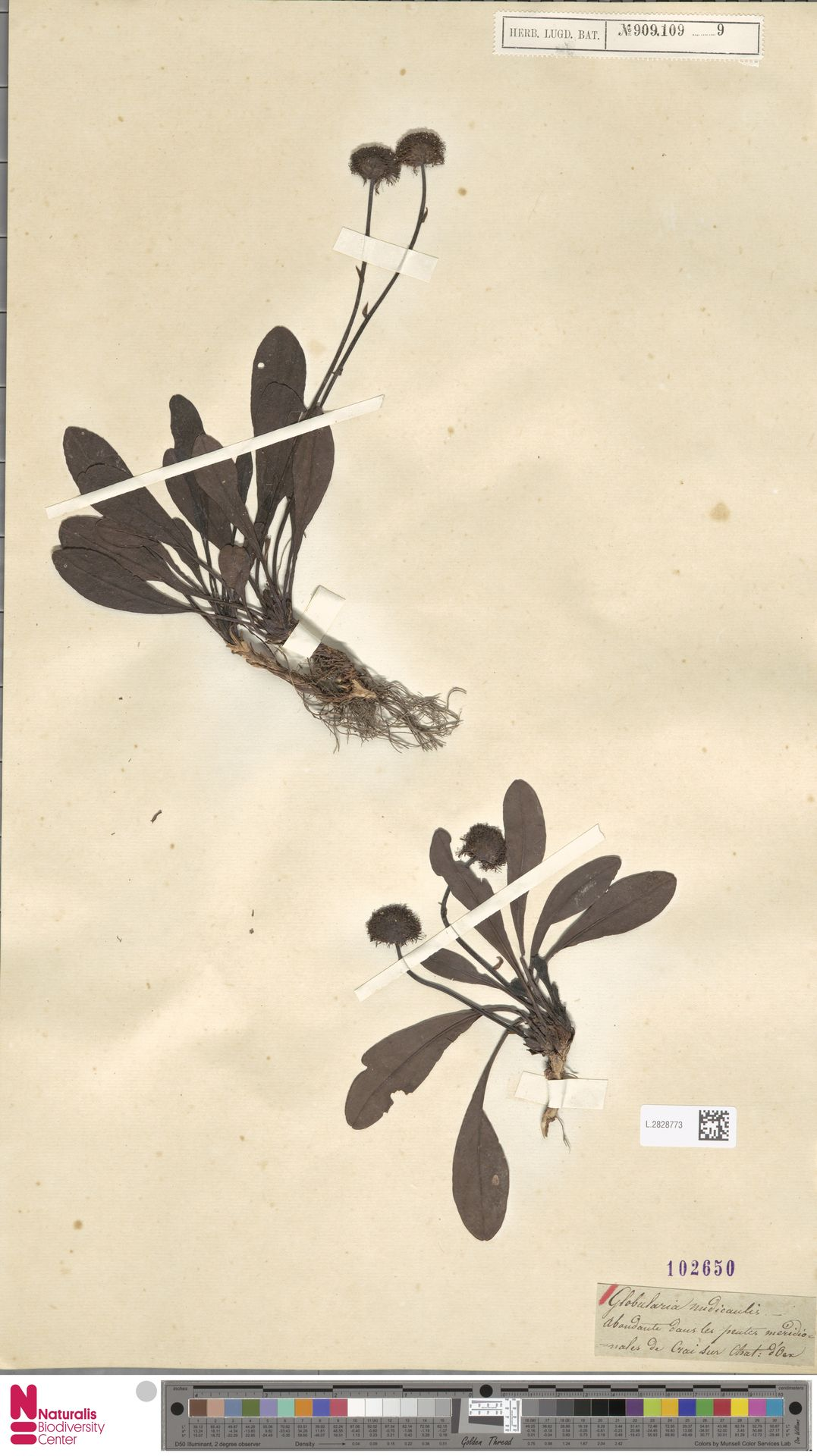 L.2828773 | Globularia nudicaulis L.