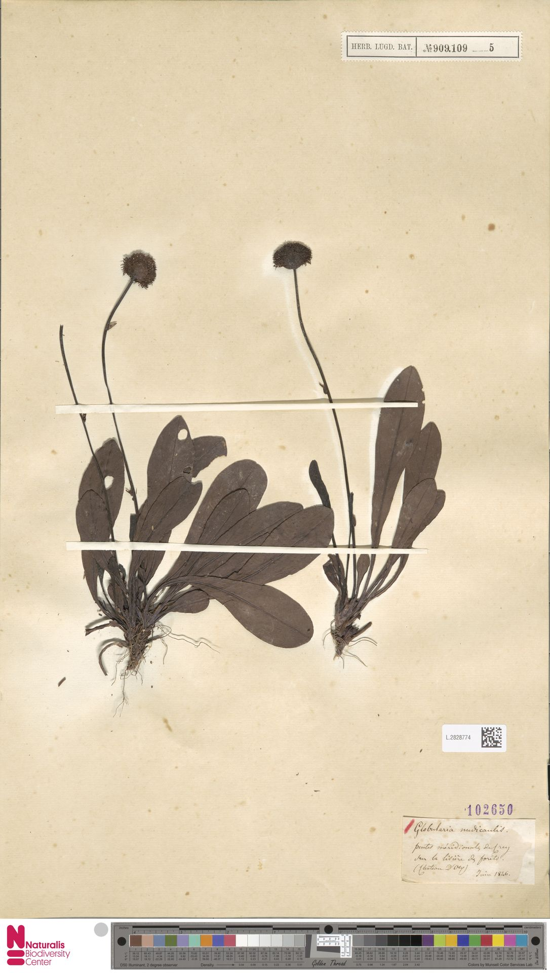 L.2828774 | Globularia nudicaulis L.