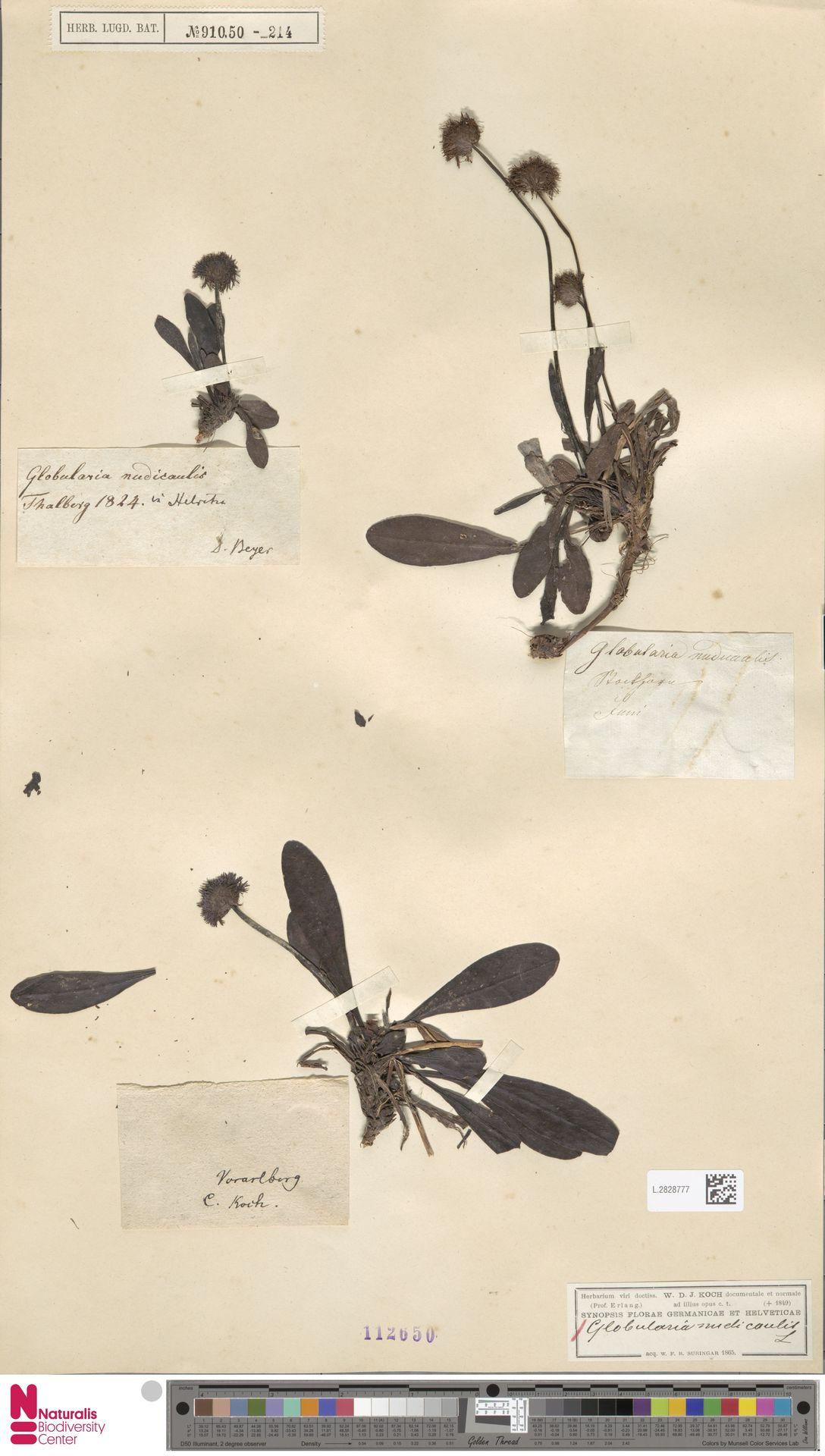 L.2828777 | Globularia nudicaulis L.