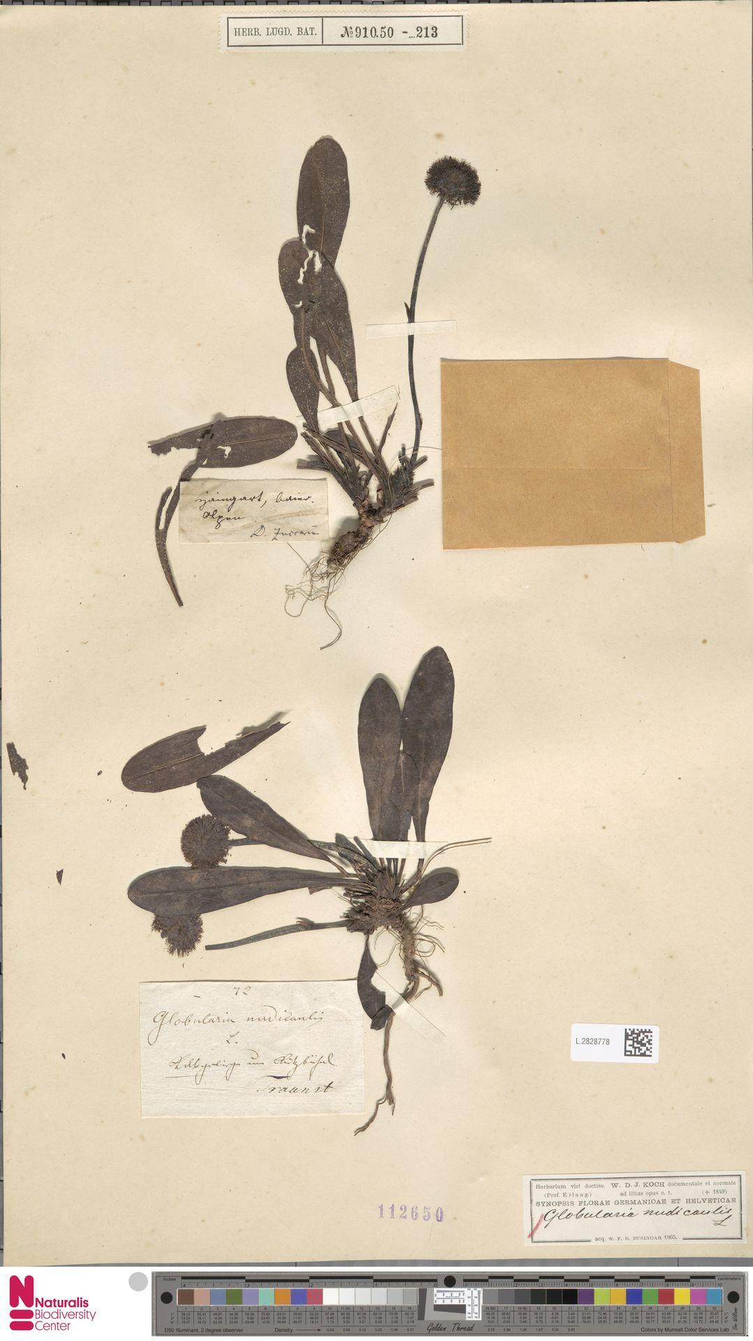 L.2828778 | Globularia nudicaulis L.