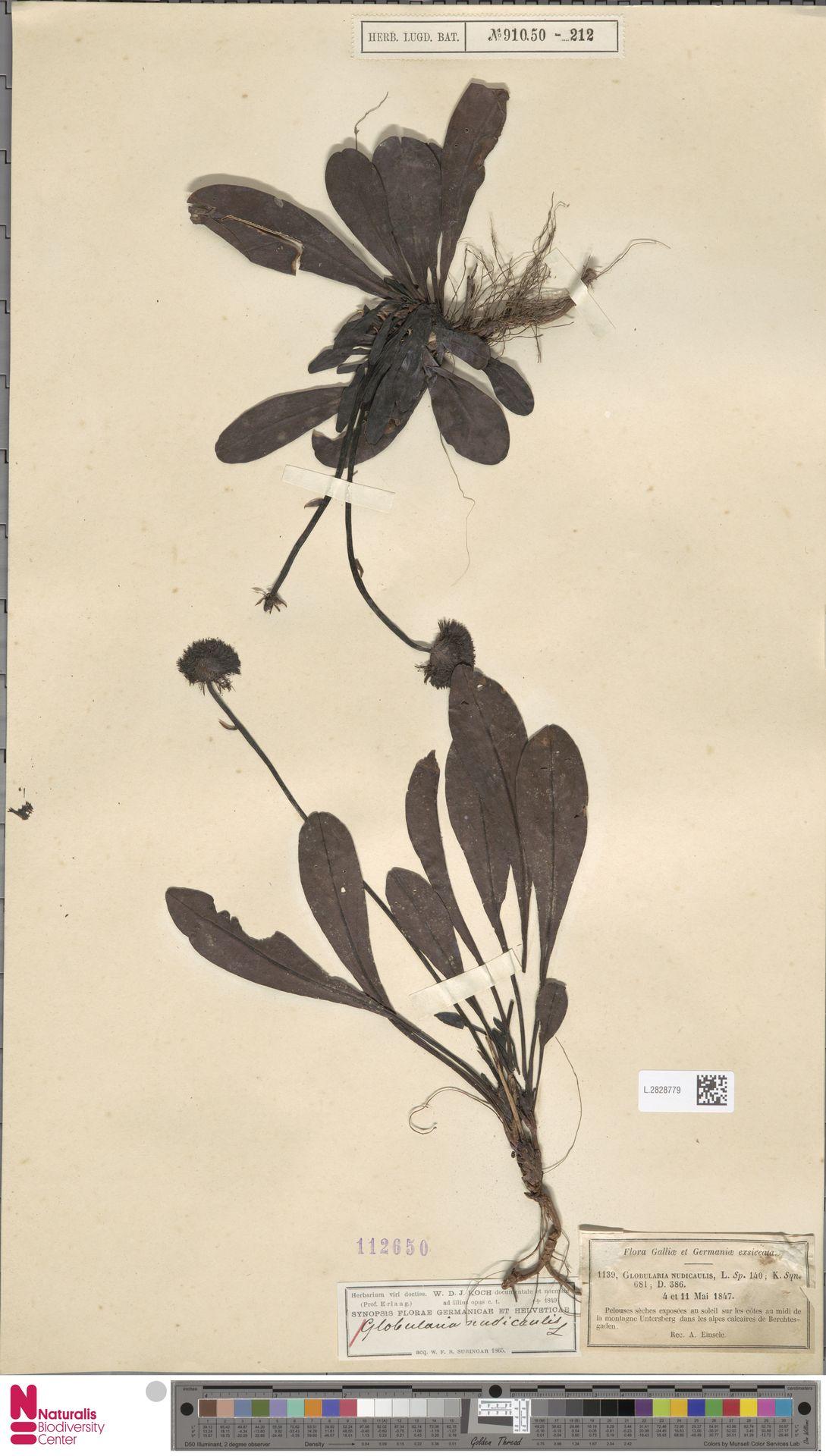 L.2828779 | Globularia nudicaulis L.