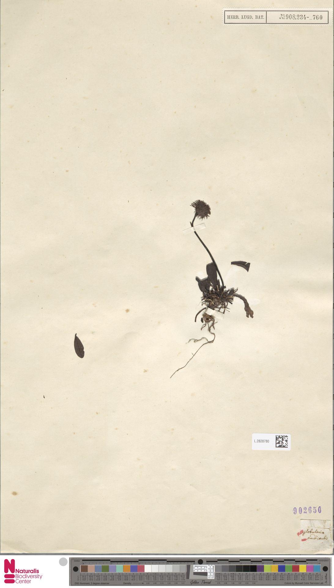 L.2828780 | Globularia nudicaulis L.
