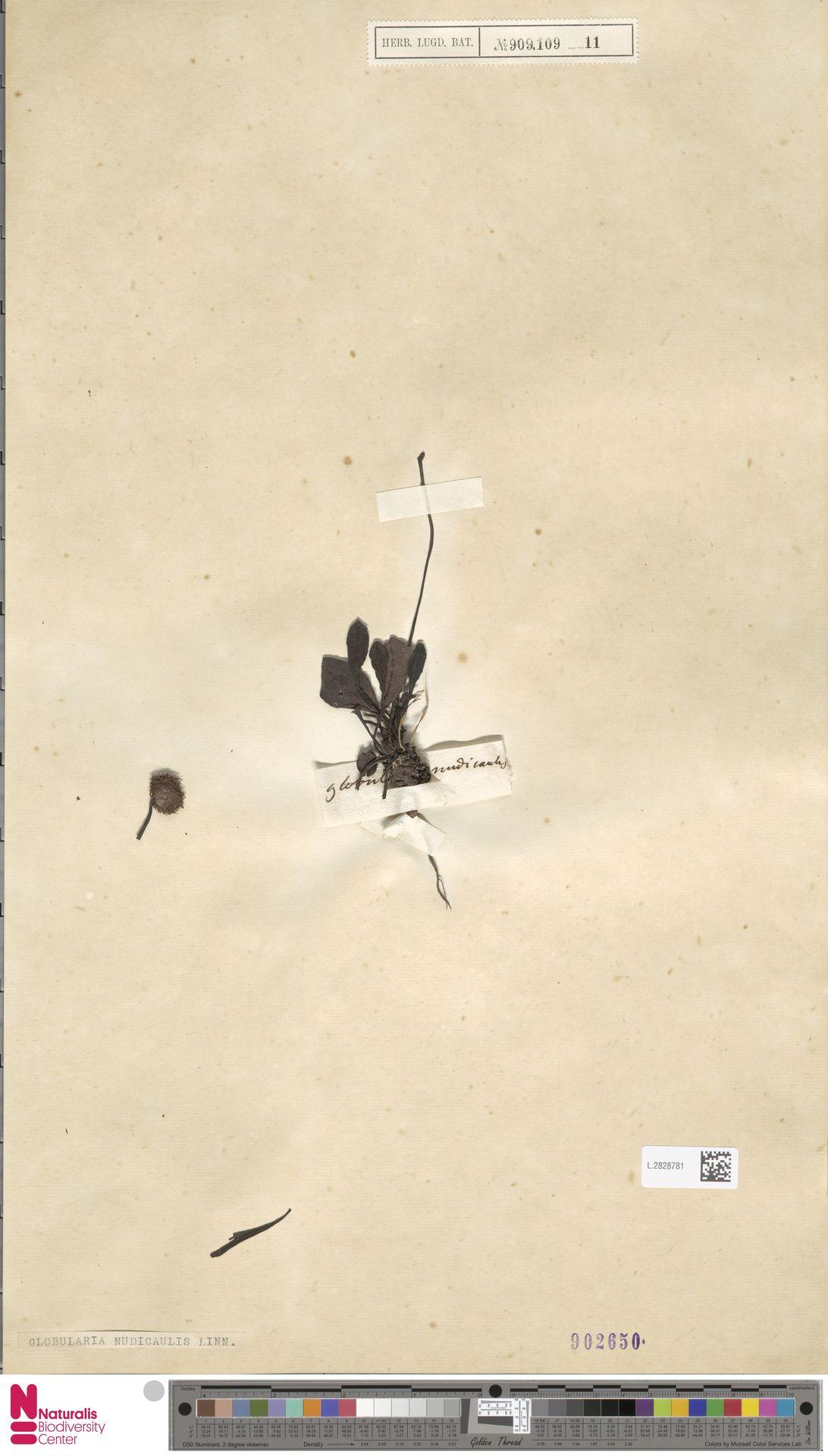 L.2828781 | Globularia nudicaulis L.