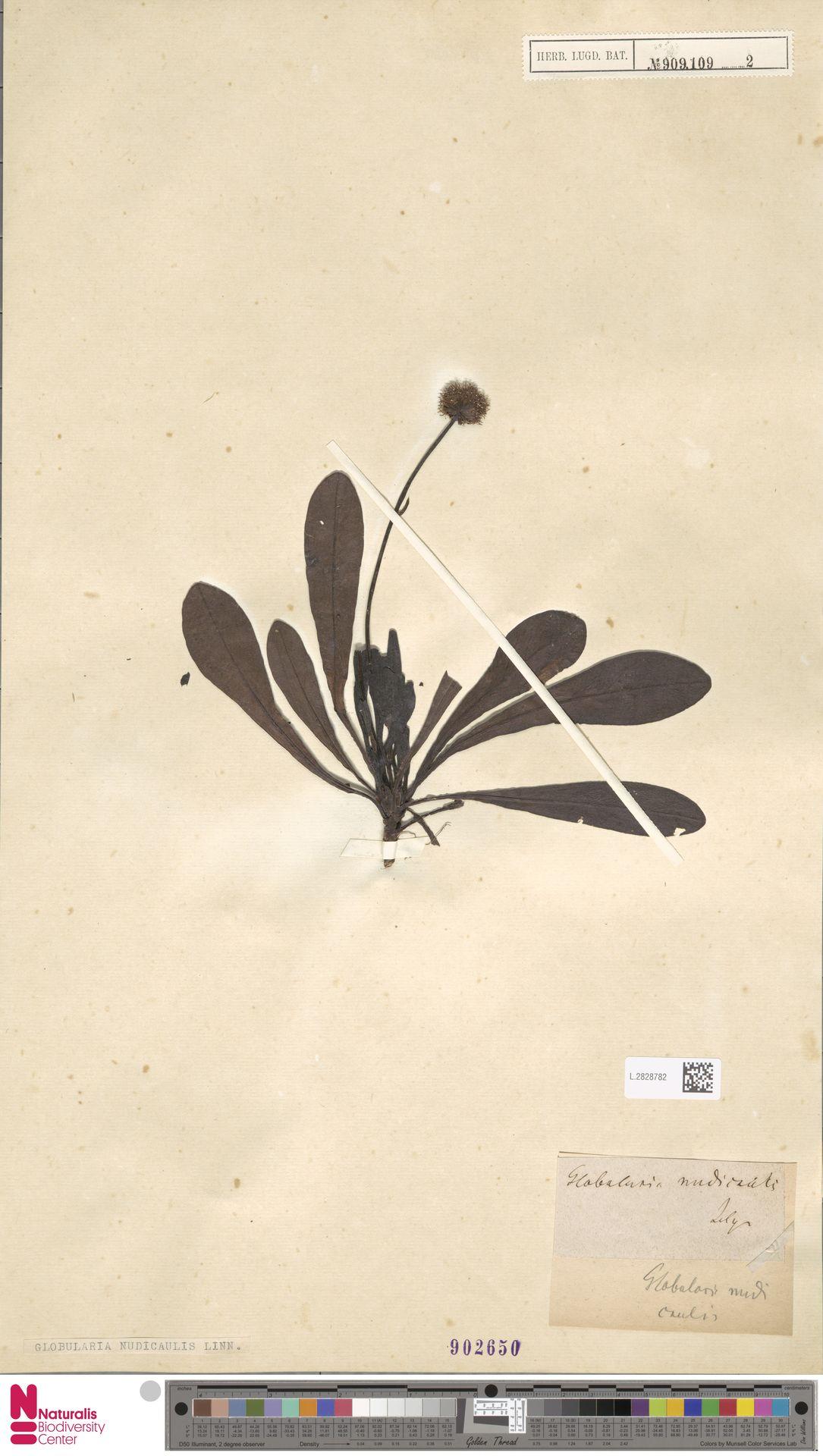 L.2828782 | Globularia nudicaulis L.