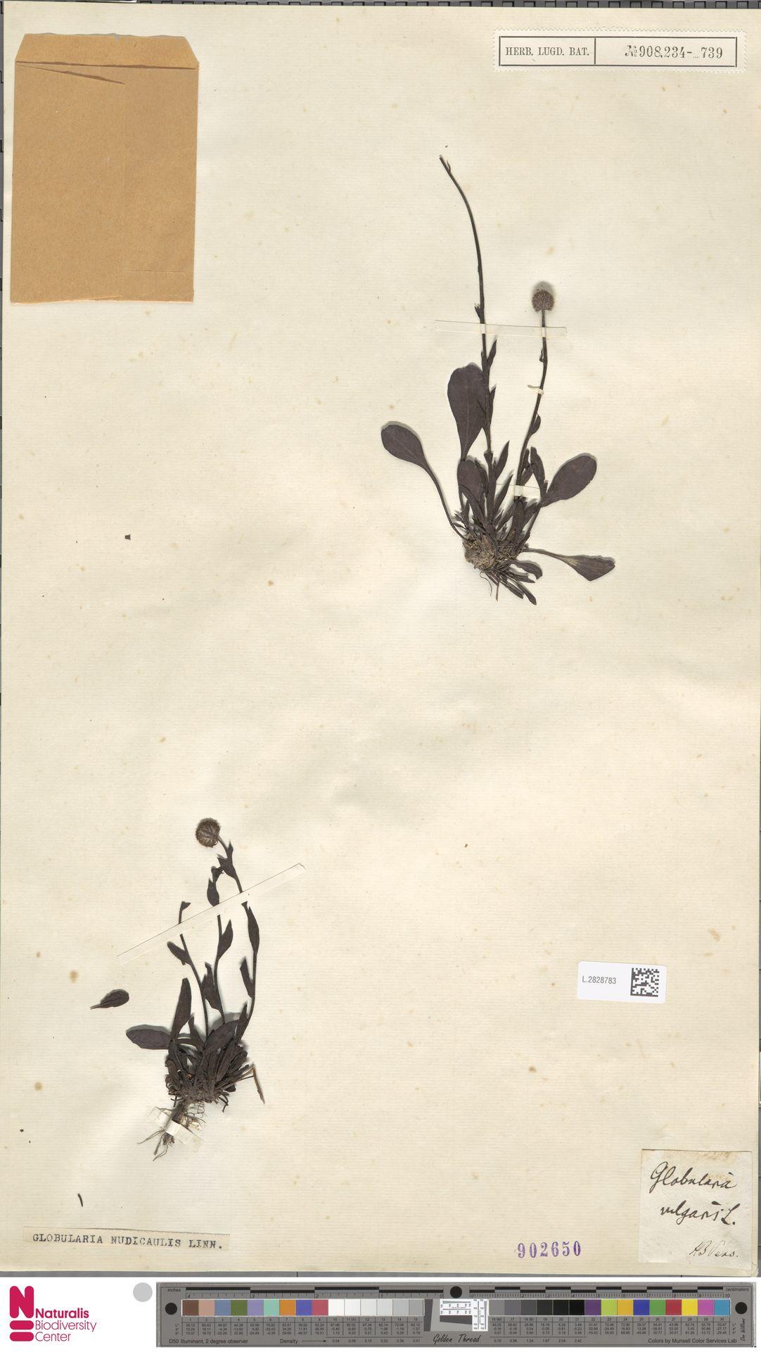 L.2828783 | Globularia nudicaulis L.