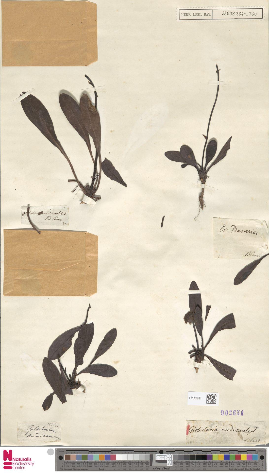 L.2828784 | Globularia nudicaulis L.