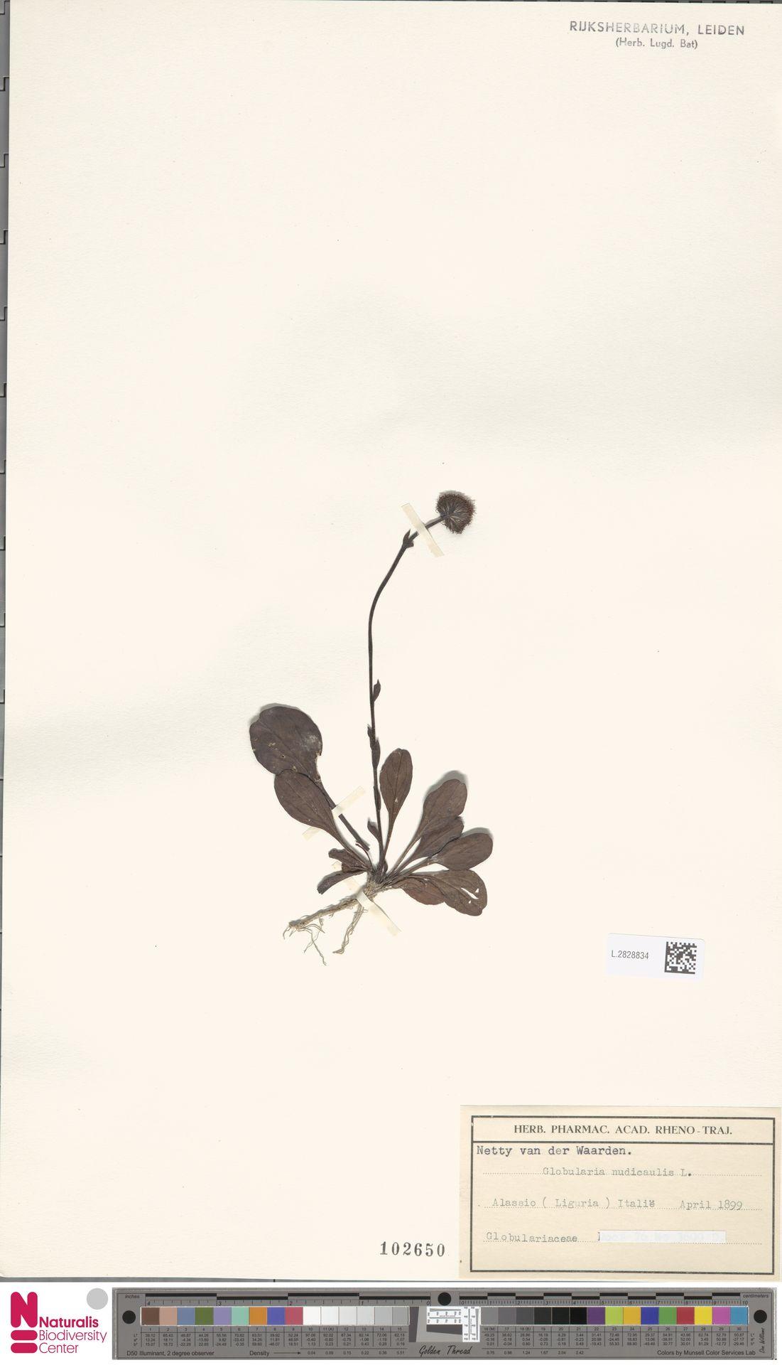 L.2828834 | Globularia nudicaulis L.