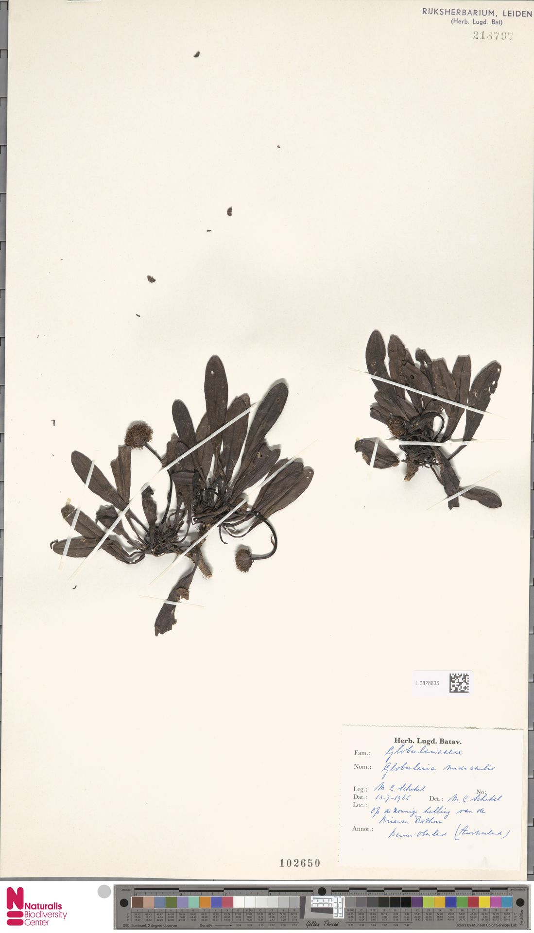 L.2828835 | Globularia nudicaulis L.