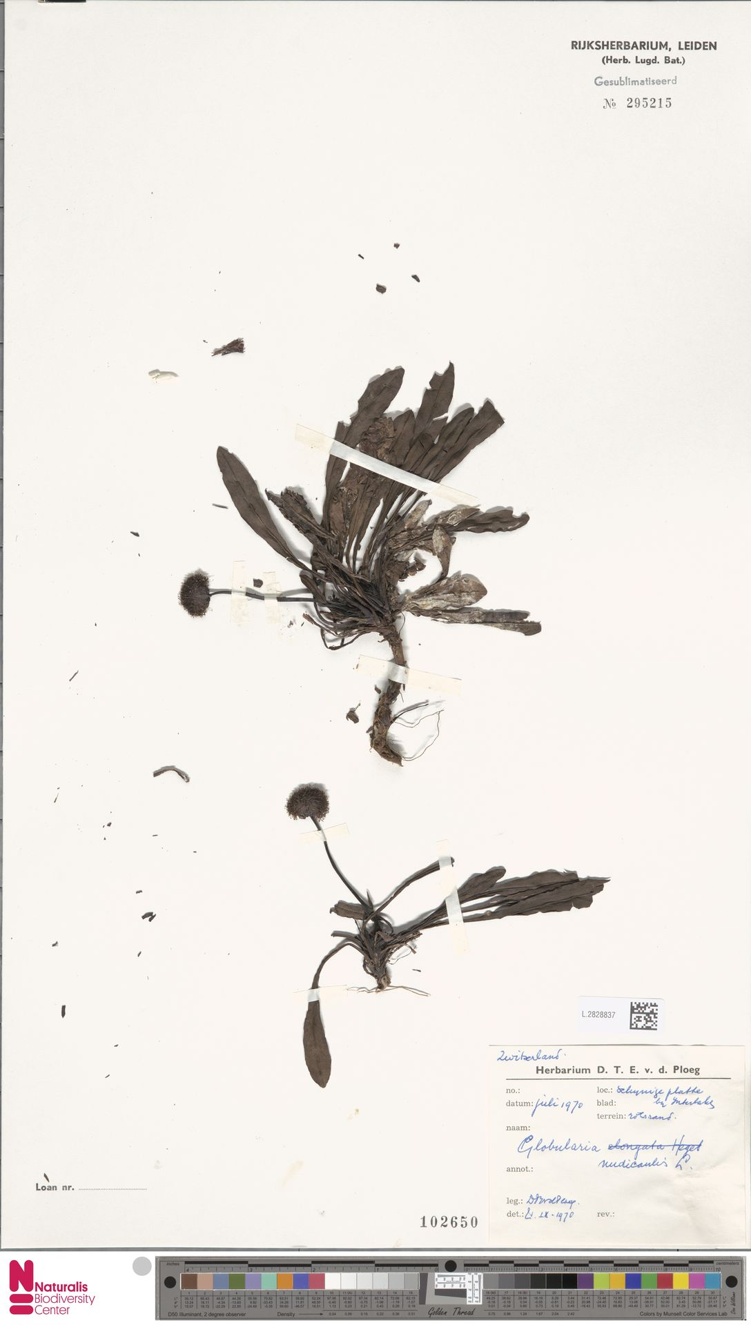 L.2828837 | Globularia nudicaulis L.