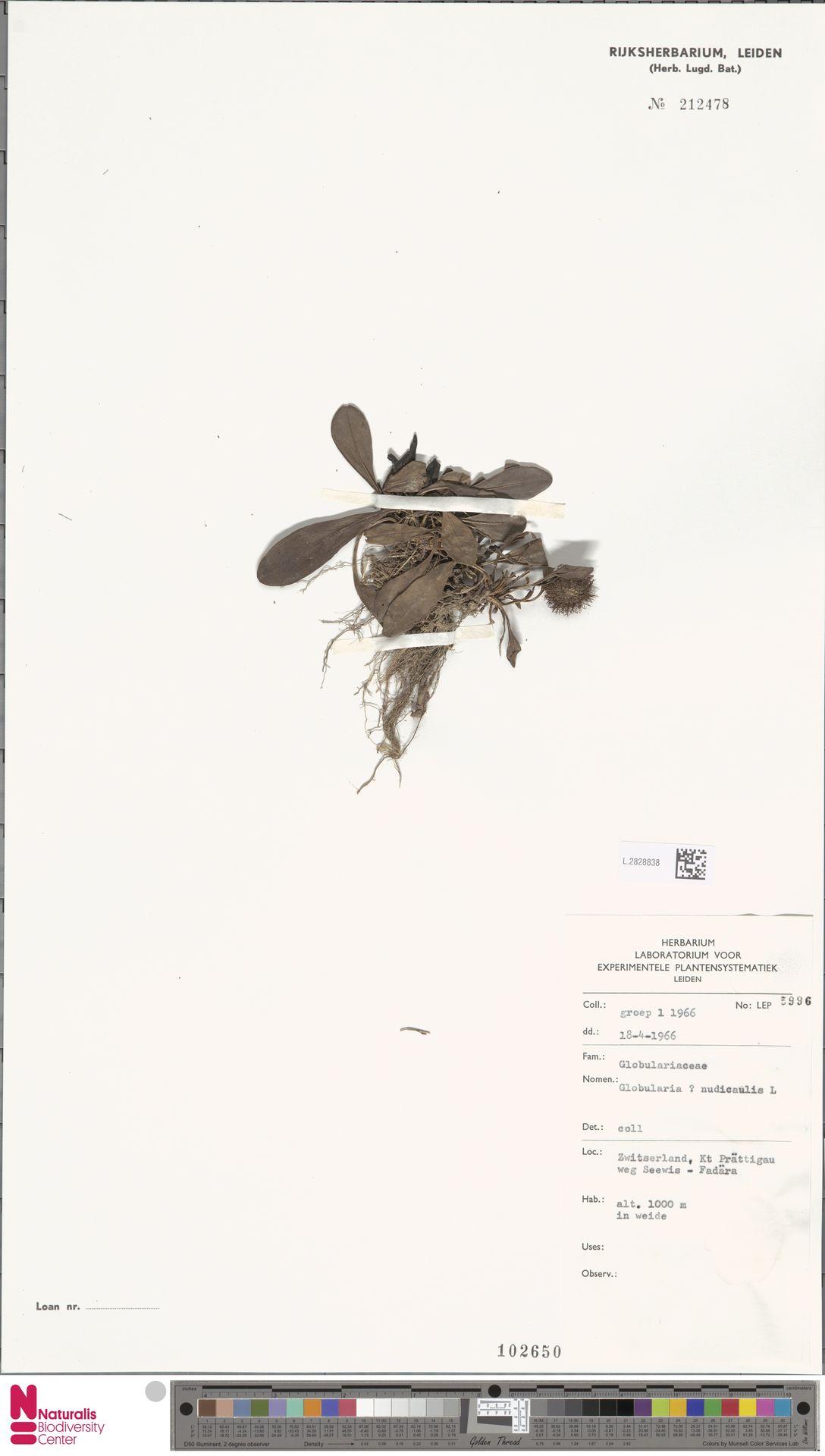 L.2828838 | Globularia nudicaulis L.