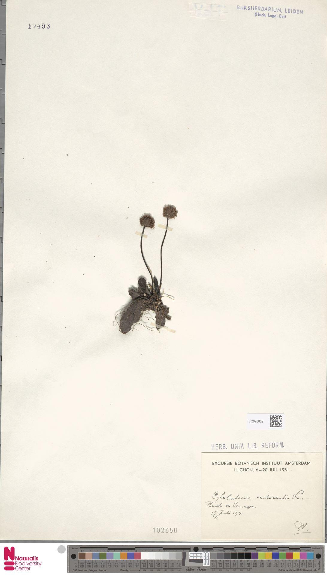 L.2828839 | Globularia nudicaulis L.