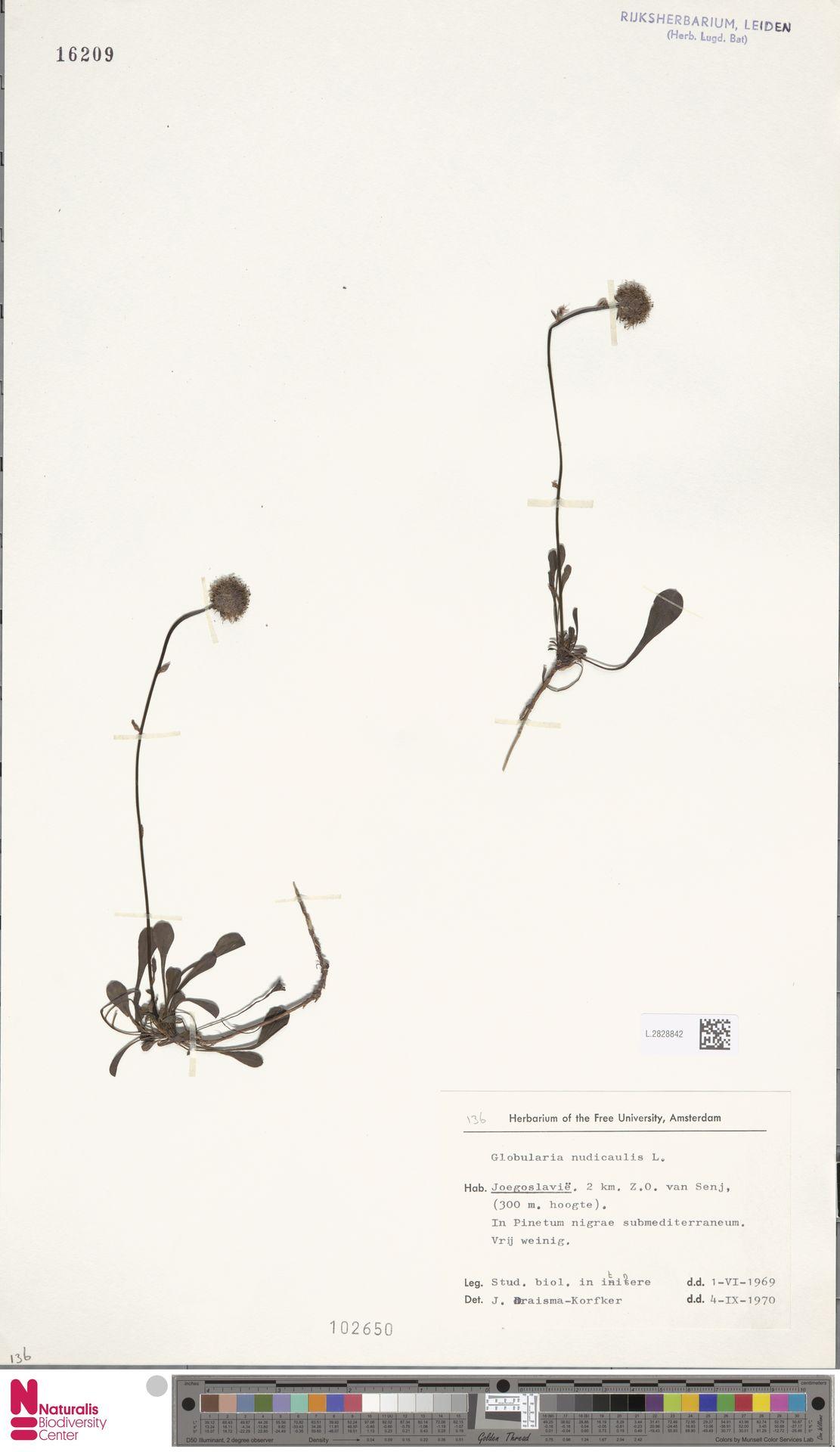 L.2828842 | Globularia nudicaulis L.