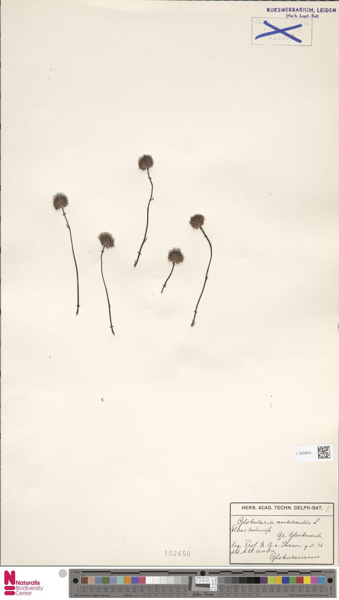 L.2828844 | Globularia nudicaulis L.