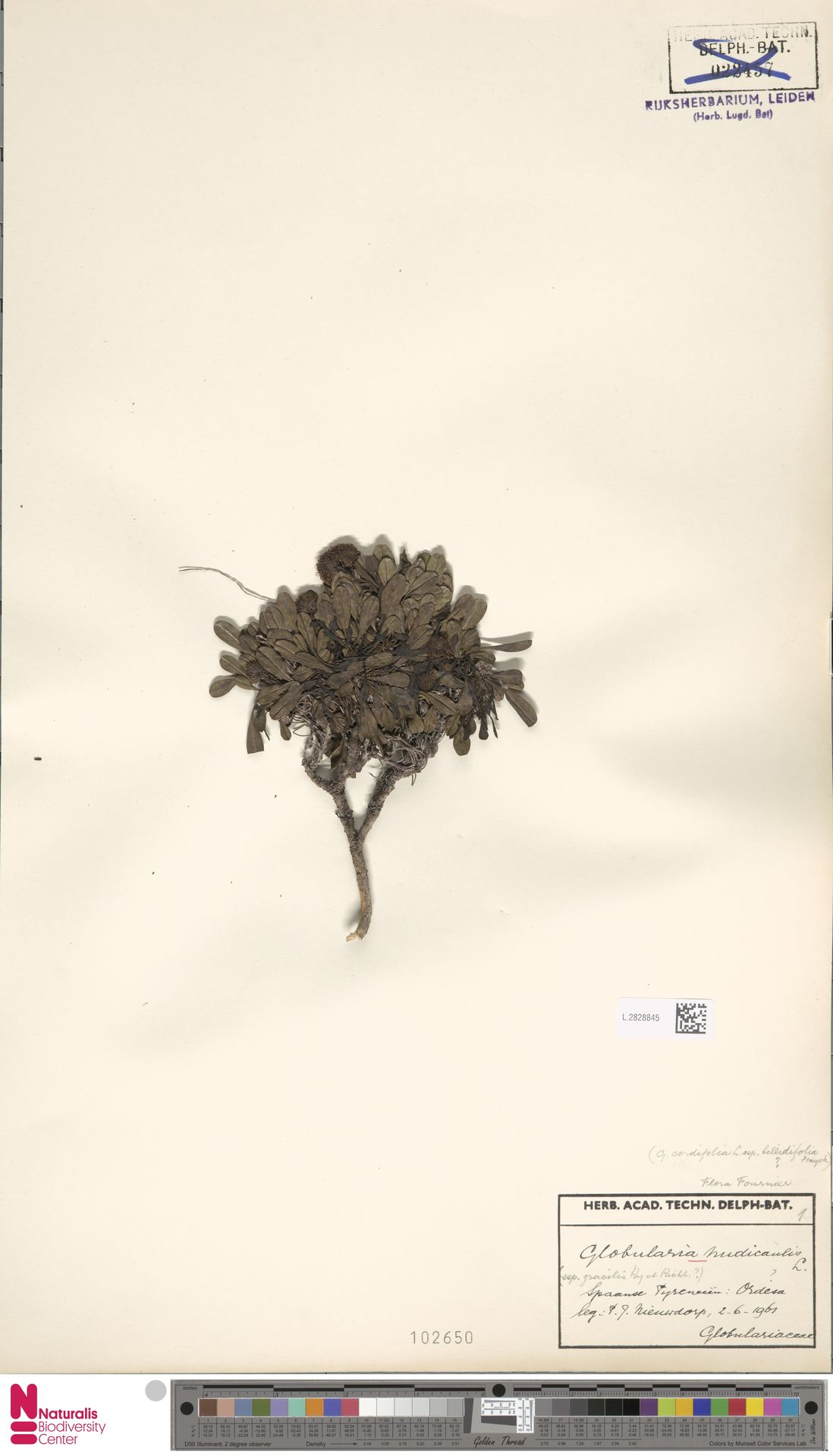 L.2828845 | Globularia nudicaulis L.