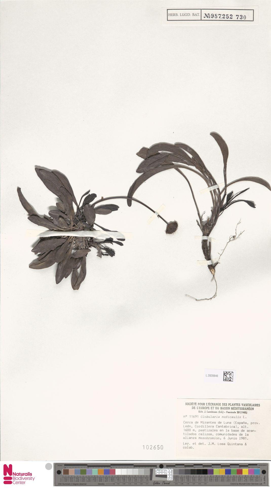 L.2828846 | Globularia nudicaulis L.