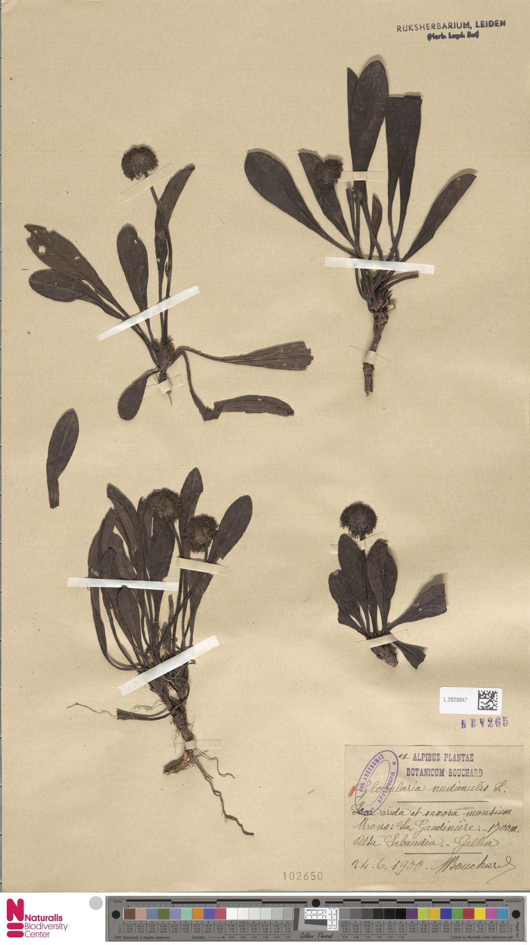 L.2828847 | Globularia nudicaulis L.