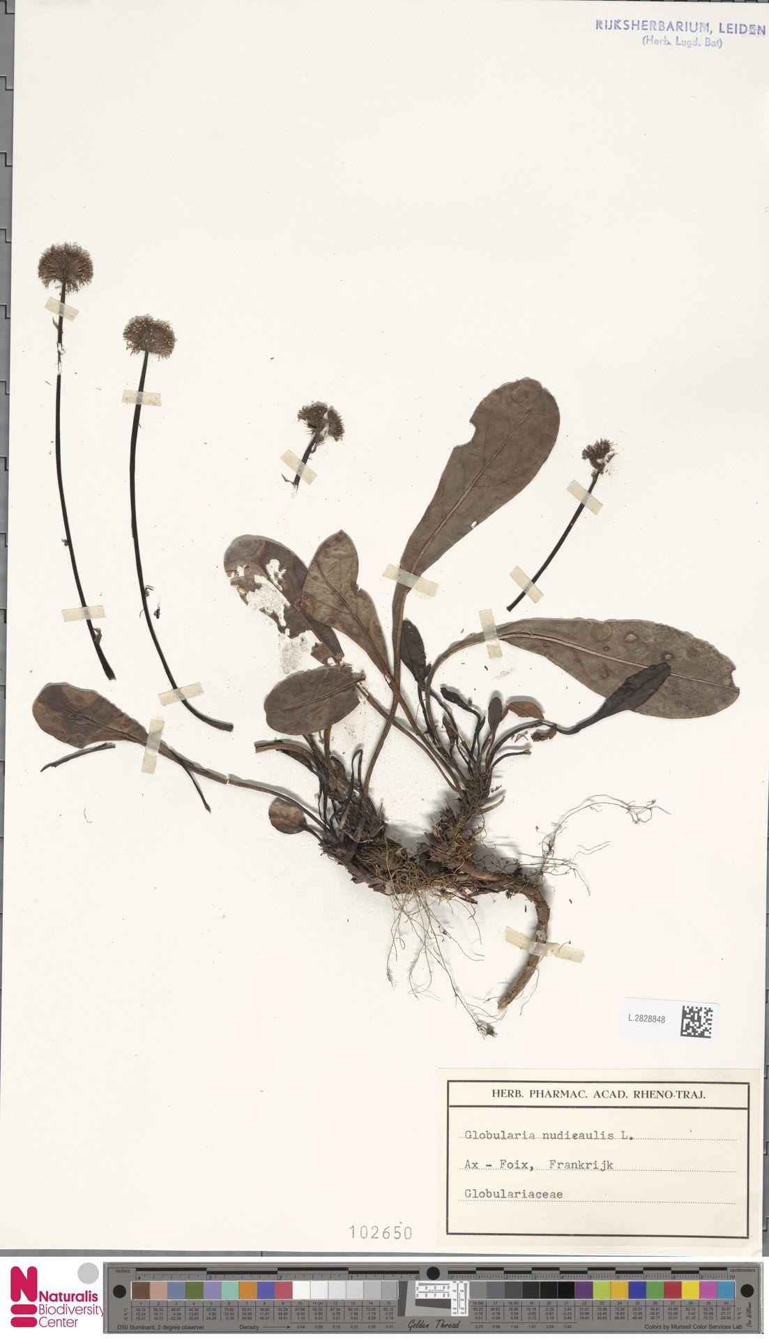 L.2828848 | Globularia nudicaulis L.