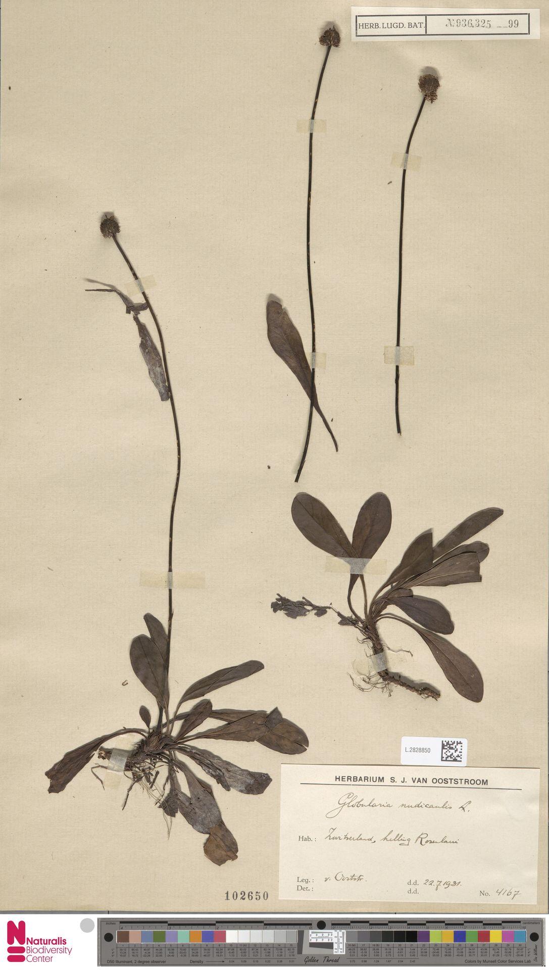 L.2828850 | Globularia nudicaulis L.