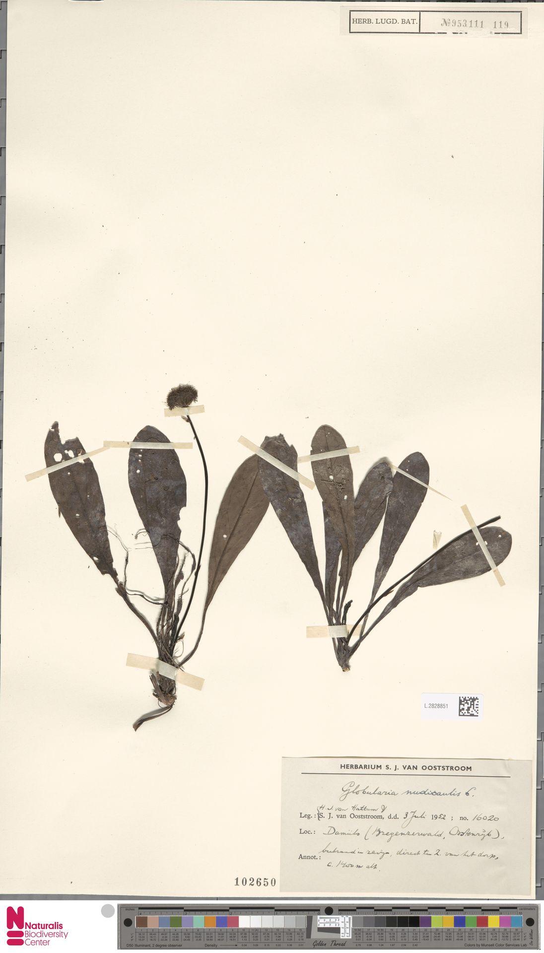 L.2828851 | Globularia nudicaulis L.