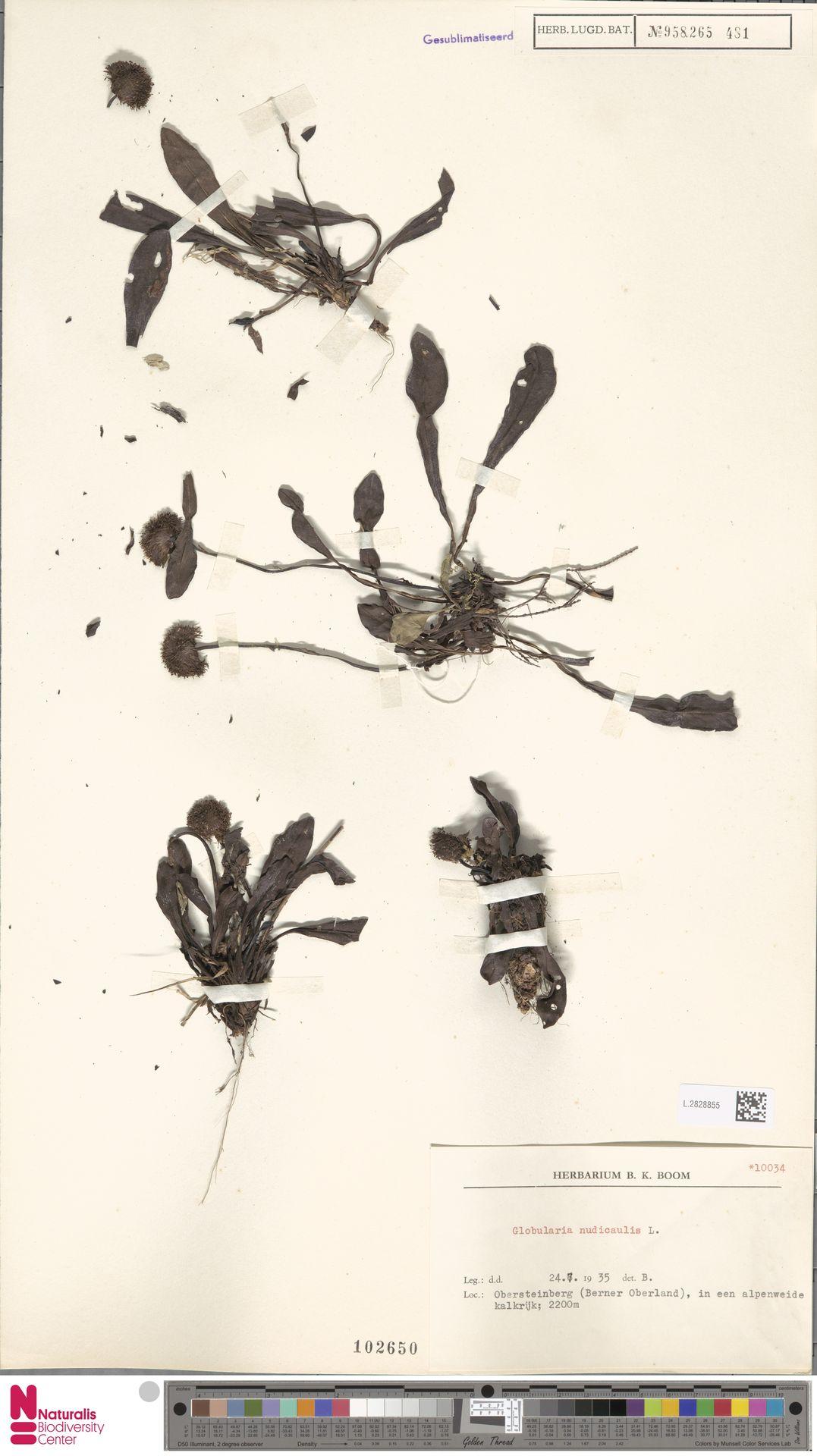 L.2828855   Globularia nudicaulis L.