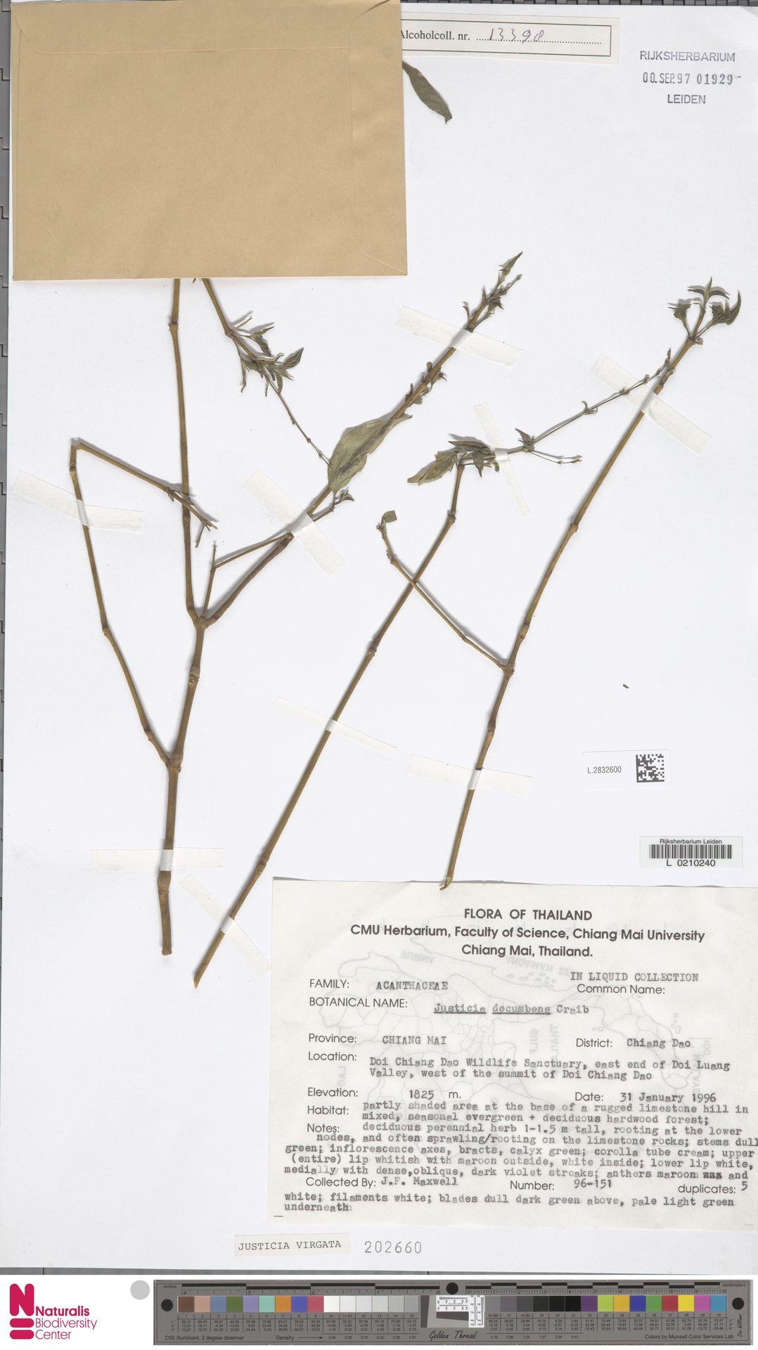 L.2832600 | Justicia virgata (Nees) T.Anderson
