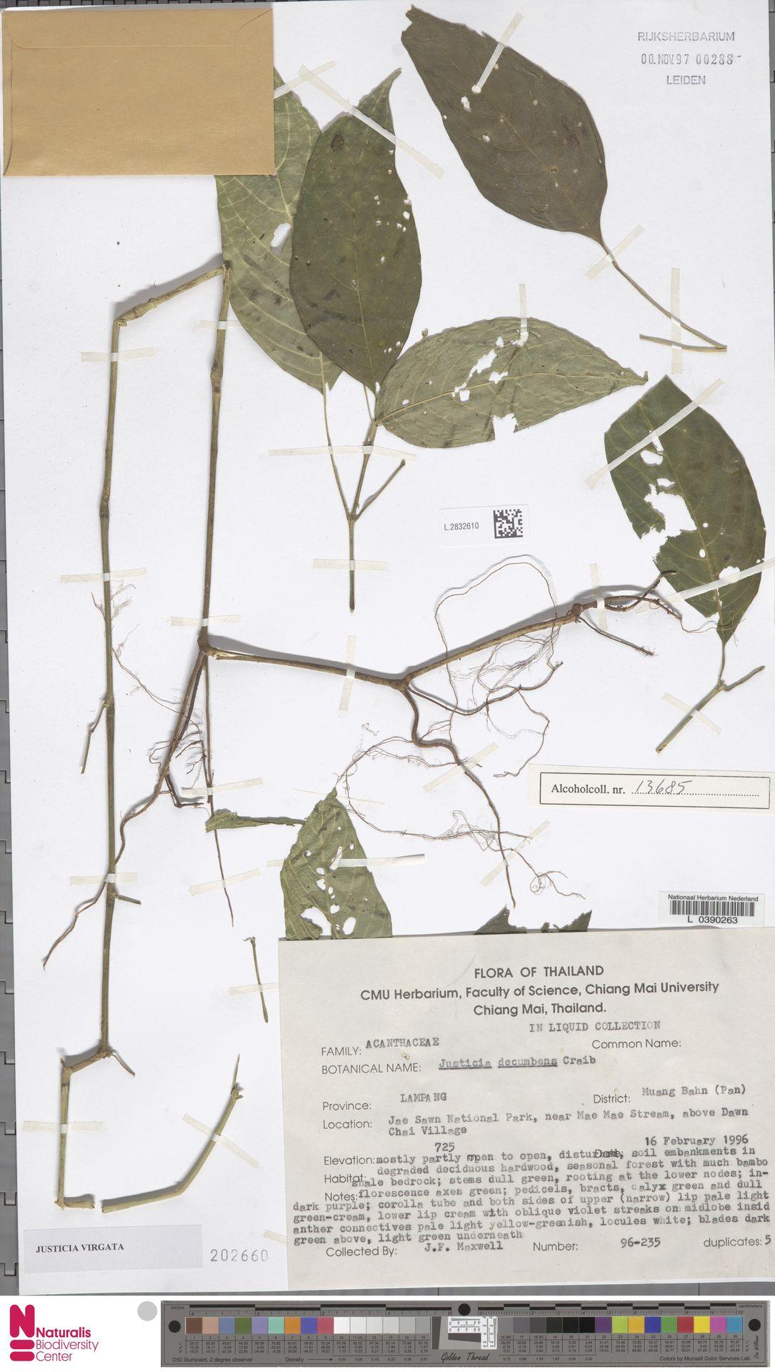 L.2832610   Justicia virgata (Nees) T.Anderson