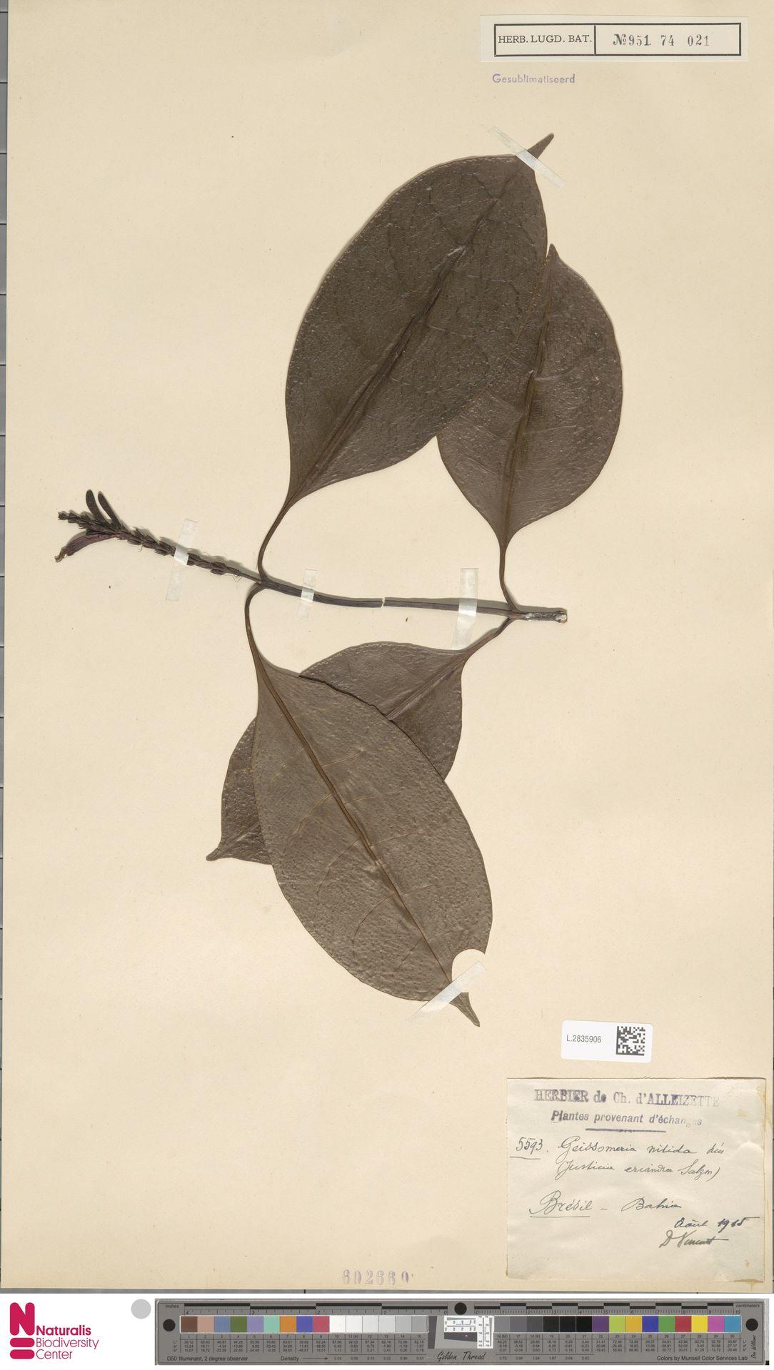 L.2835906 | Geissomeria nitida (Nees & Mart.) Nees