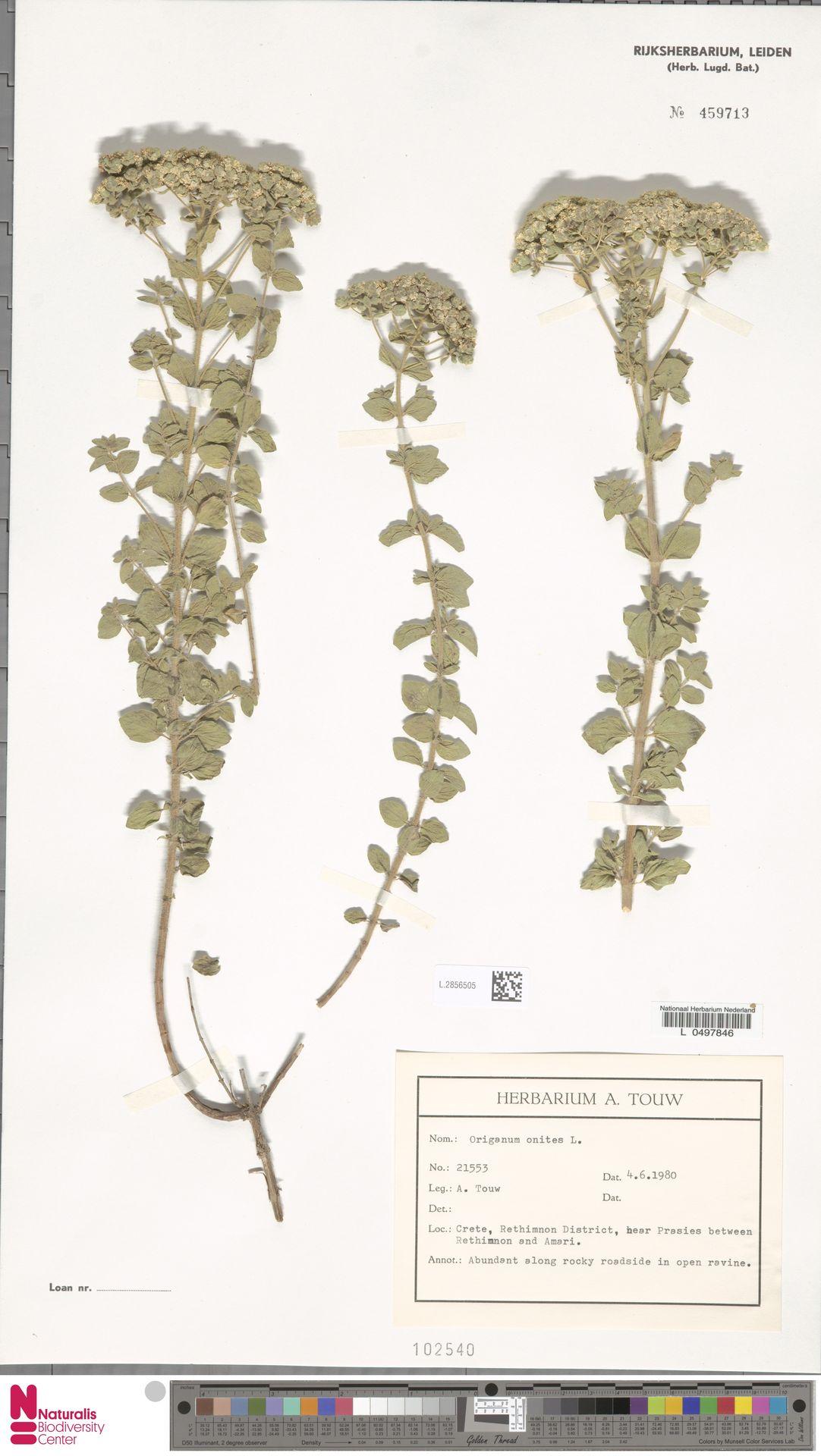 L.2856505 | Origanum onites L.